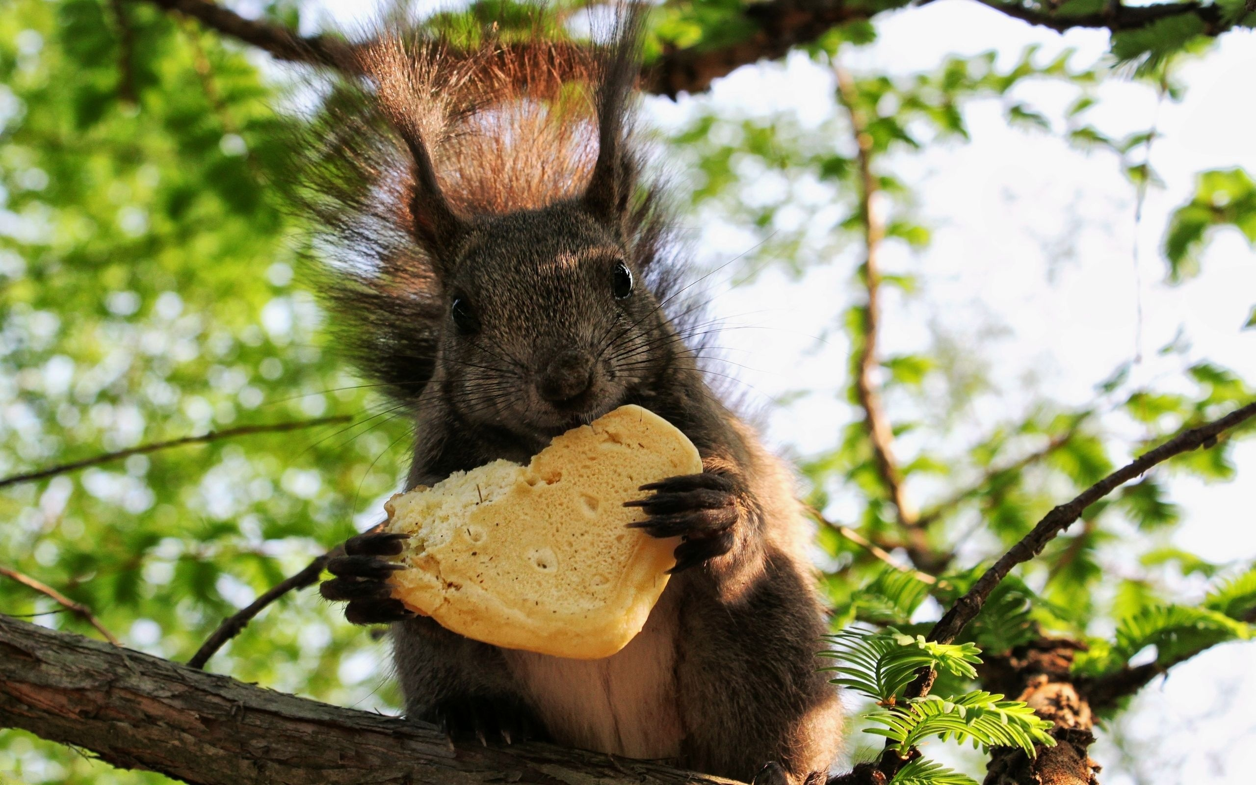 35514 download wallpaper Animals, Squirrel screensavers and pictures for free