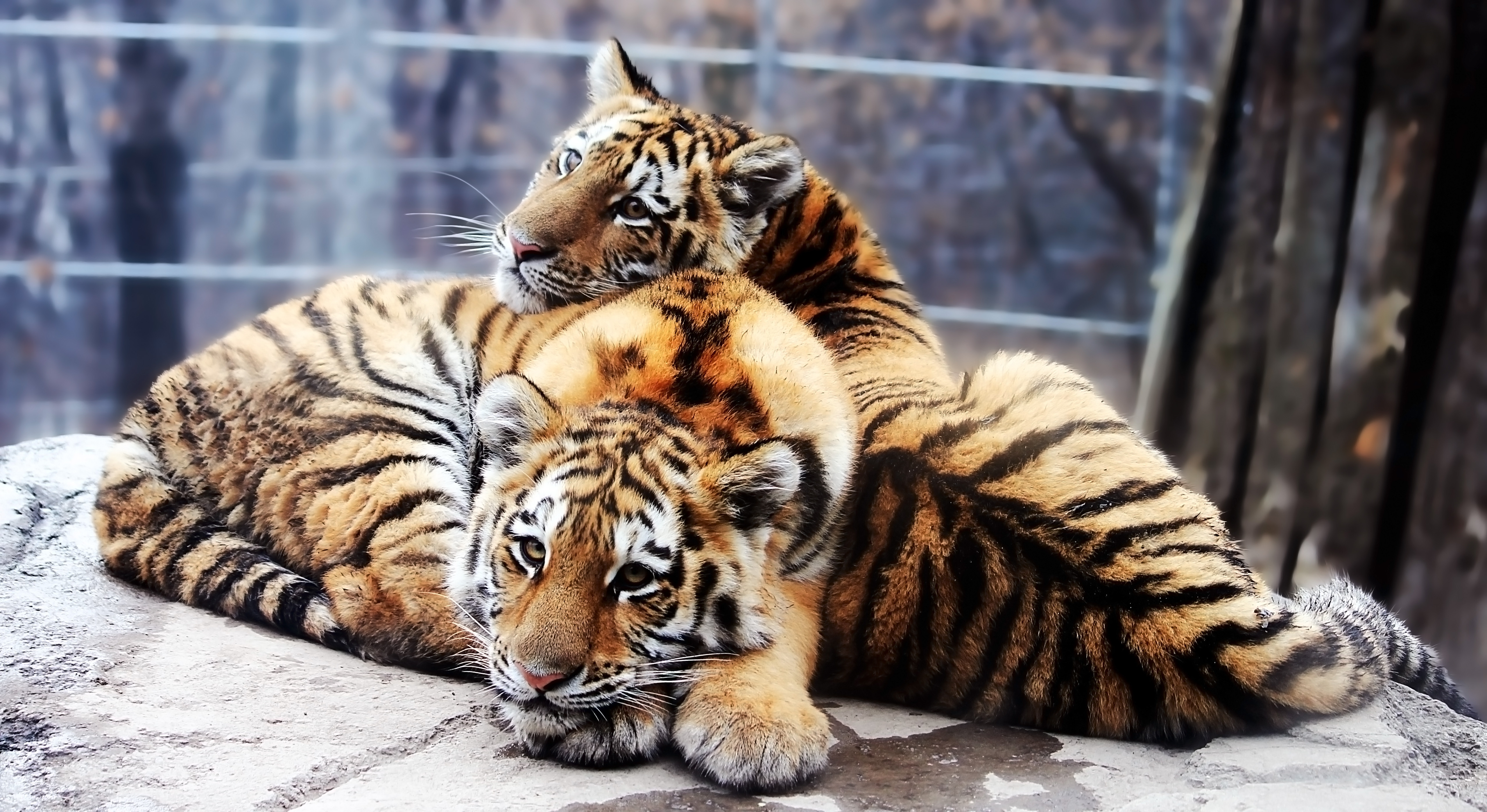 90715 Screensavers and Wallpapers Predators for phone. Download Animals, Stones, Predators, Couple, Pair, To Lie Down, Lie, Tiger Cubs pictures for free