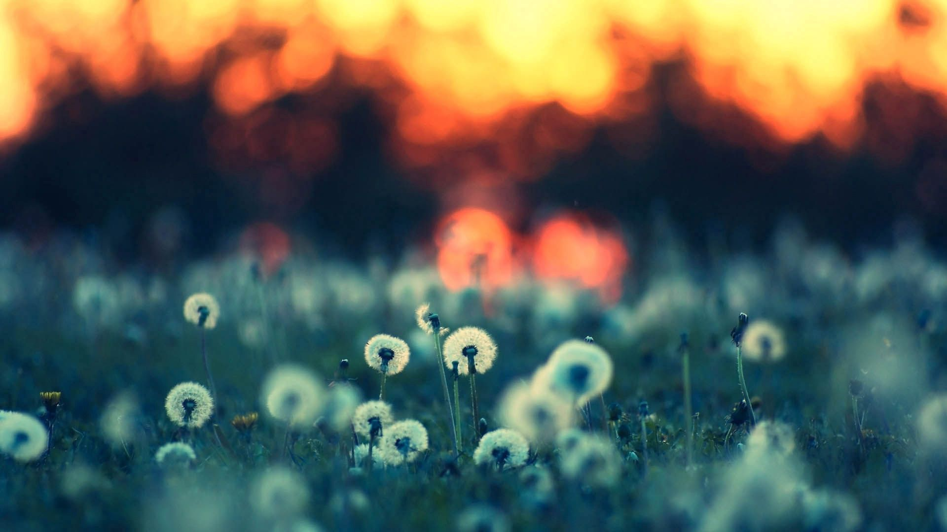 58023 download wallpaper Dandelions, Macro, Shine, Light, Field screensavers and pictures for free