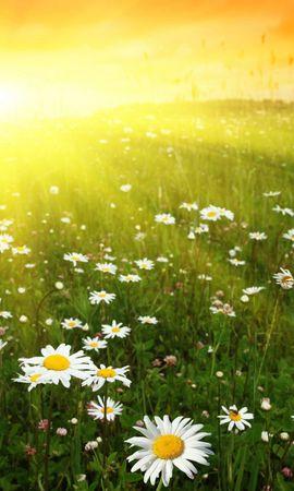 16320 скачать обои Растения, Пейзаж, Цветы, Солнце, Ромашки - заставки и картинки бесплатно