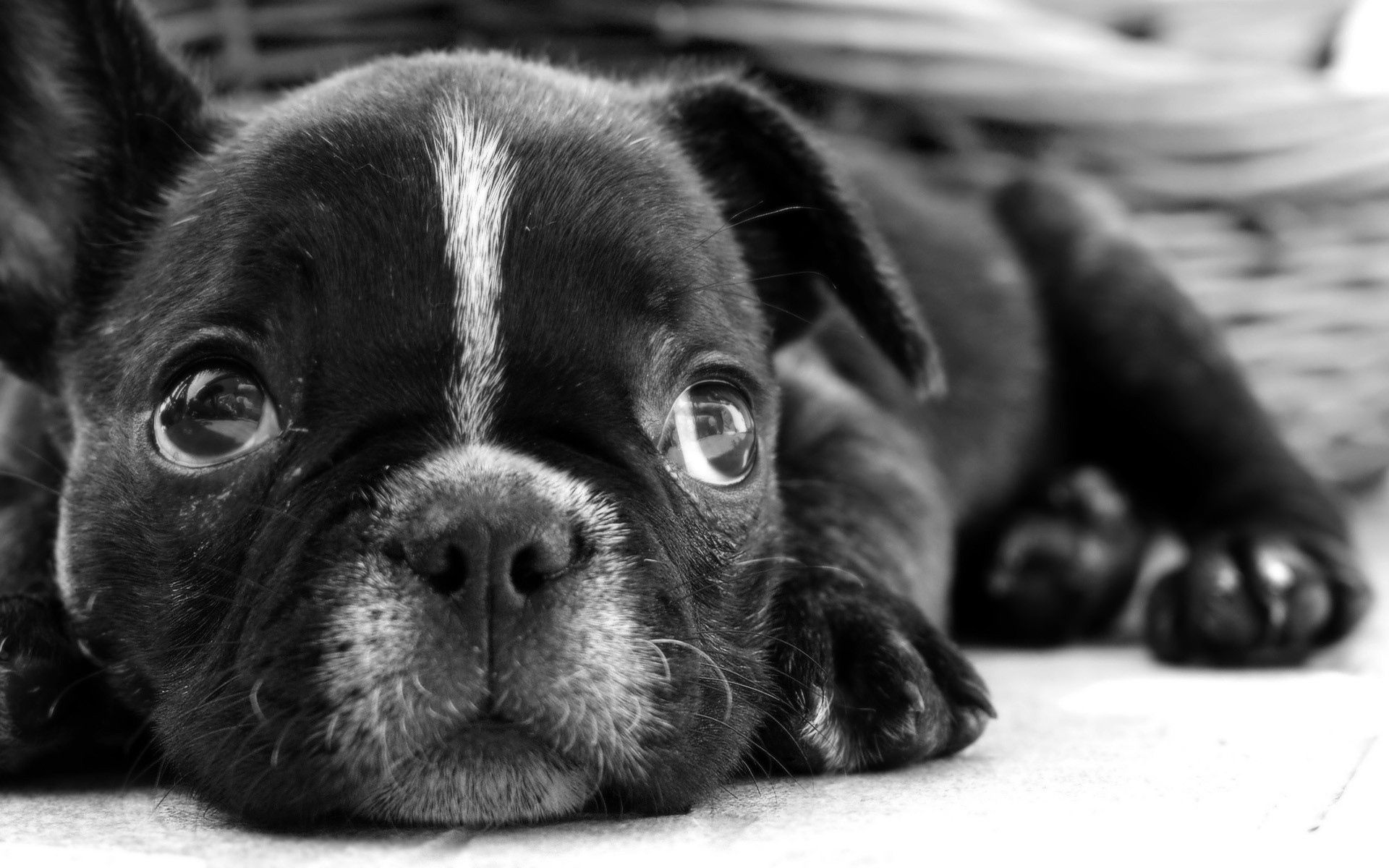 96232 download wallpaper Animals, Bulldog, Puppy, Dog, Bw, Chb, Muzzle, Sight, Opinion, Sadness, Sorrow screensavers and pictures for free