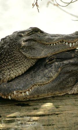 7483 baixar papel de parede Animais, Crocodiles - protetores de tela e imagens gratuitamente