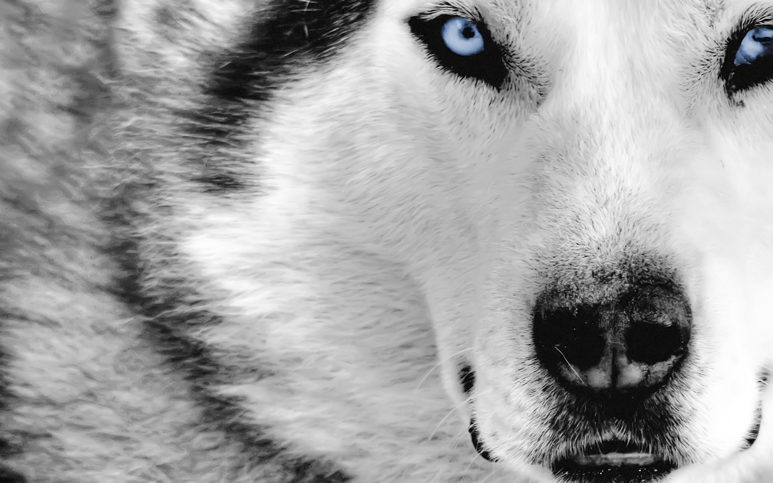 8807 download wallpaper Animals, Wolfs screensavers and pictures for free