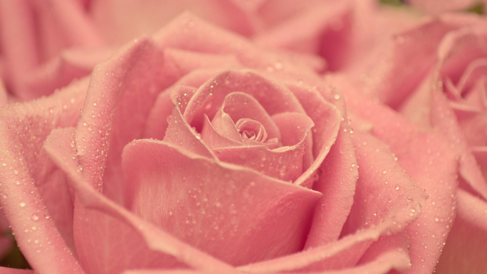 47809 скачать обои Растения, Цветы, Розы - заставки и картинки бесплатно