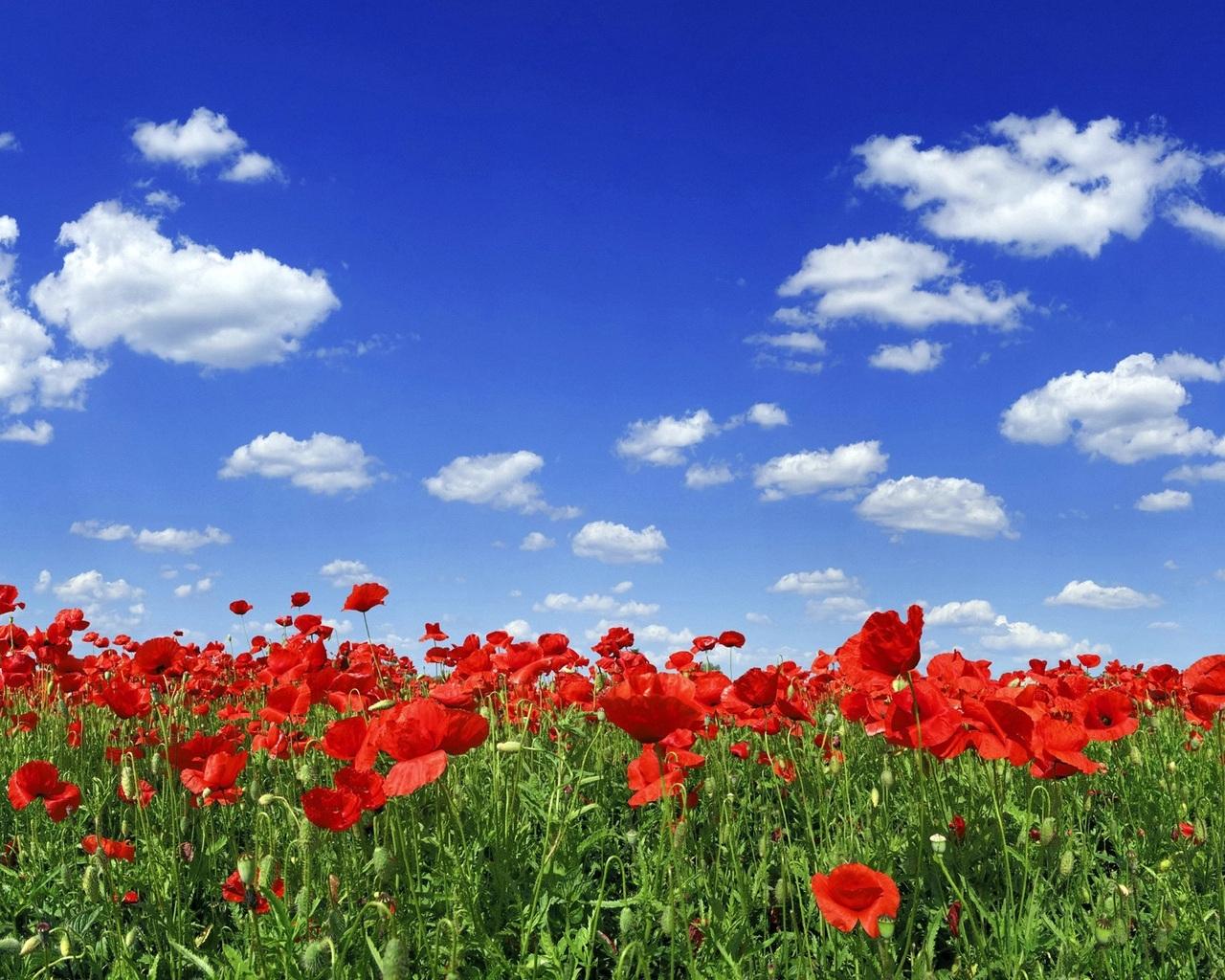 Скачать картинку Маки, Тюльпаны, Небо, Растения, Пейзаж в телефон бесплатно.