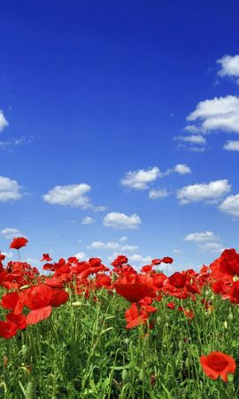 4015 descargar fondo de pantalla Plantas, Paisaje, Cielo, Amapolas, Tulipanes: protectores de pantalla e imágenes gratis