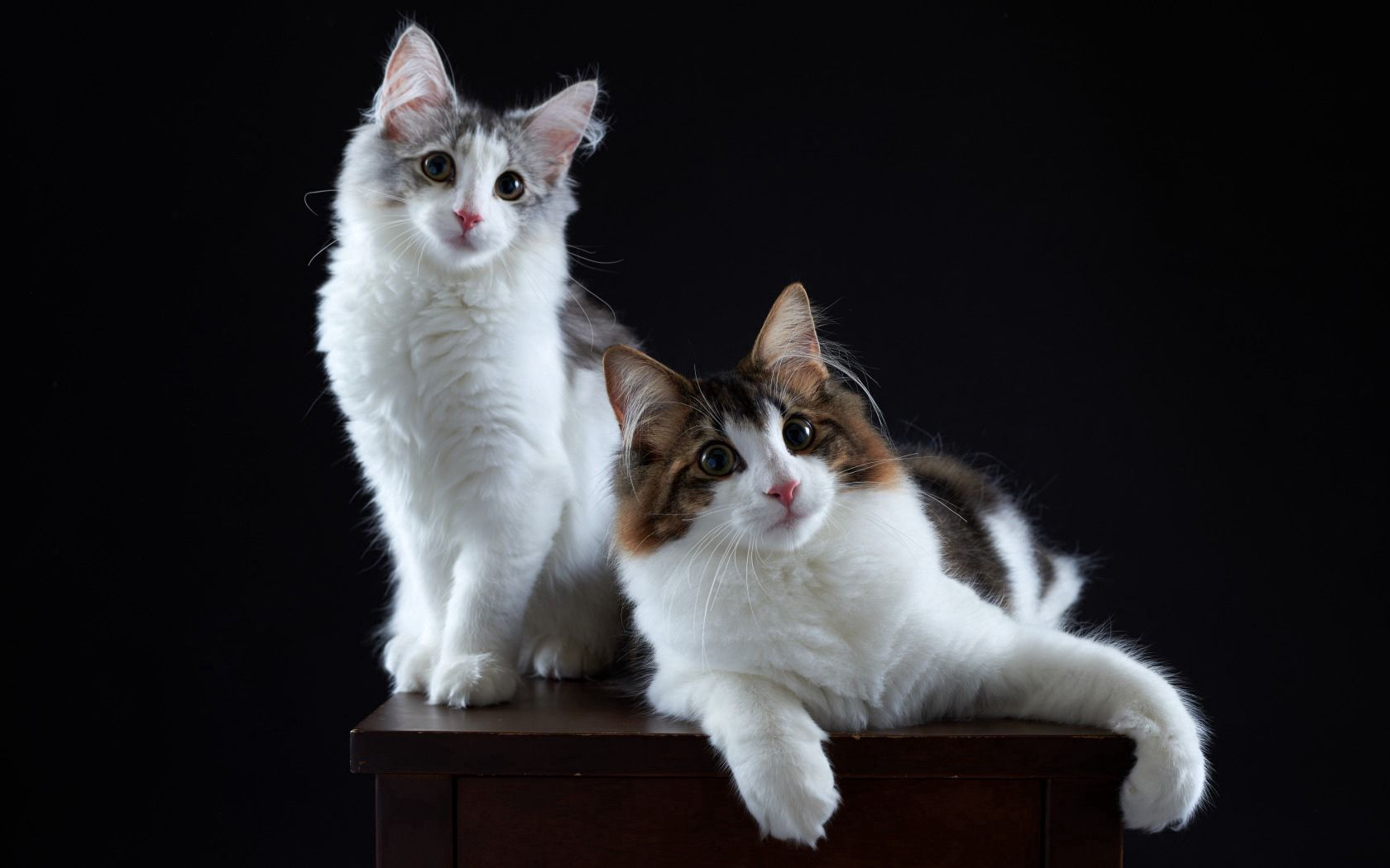 98157 Screensavers and Wallpapers Cats for phone. Download Animals, Cats, Couple, Pair, Fluffy pictures for free