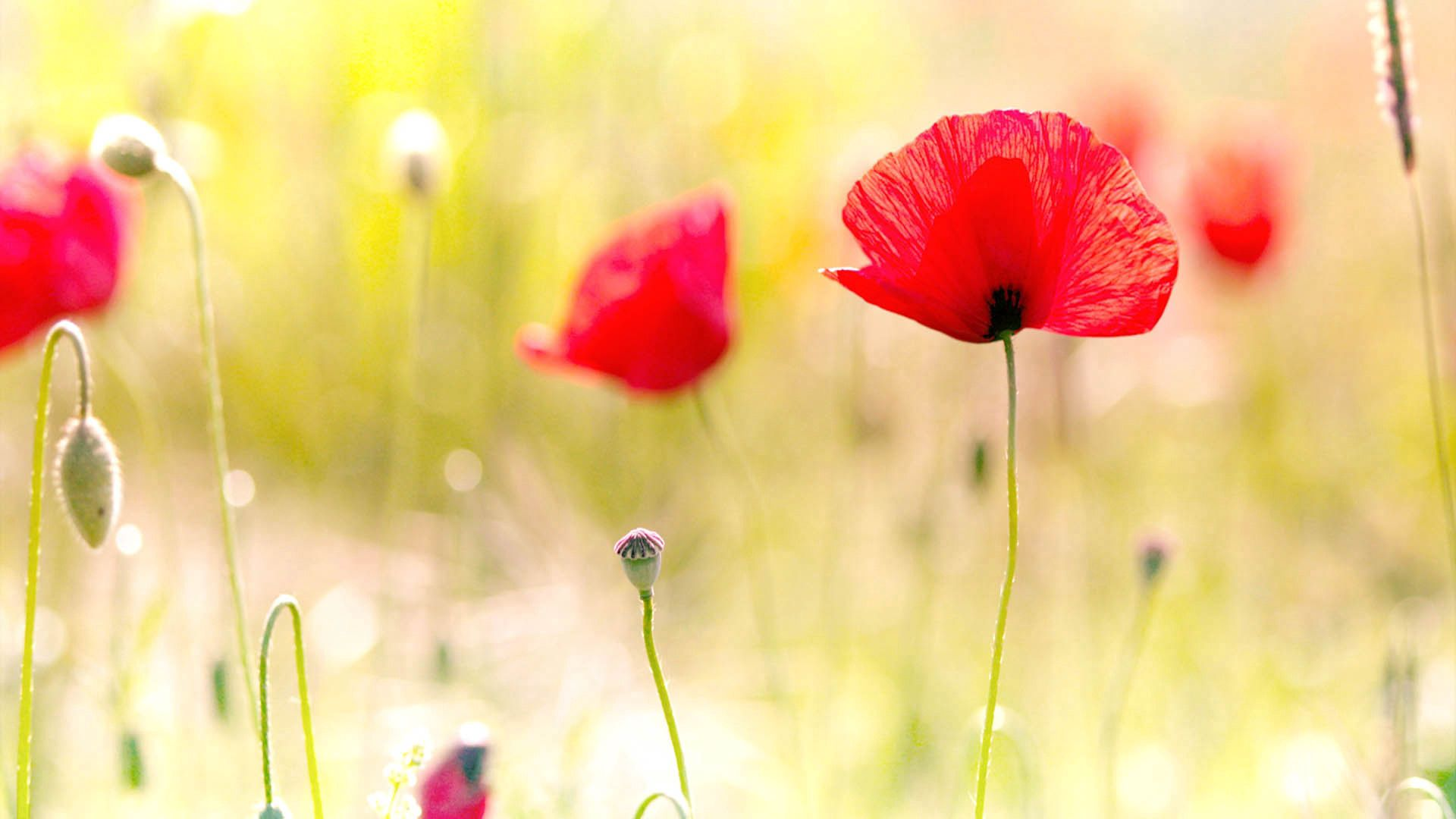 151188 Screensavers and Wallpapers Poppies for phone. Download Flowers, Poppies, Plant, Shine, Light, Petals, Field pictures for free