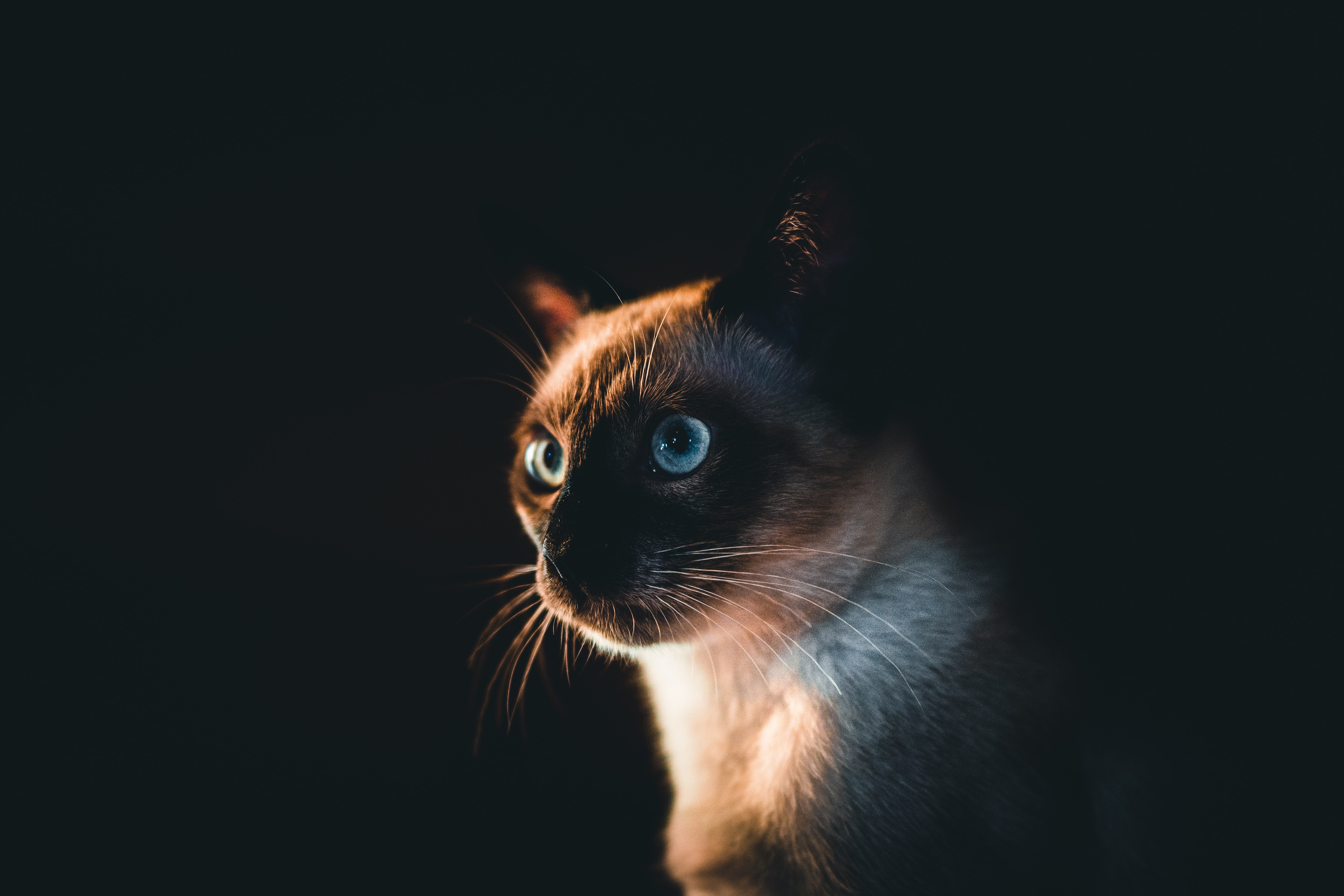 57518 download wallpaper Animals, Siamese Cat, Cat, Pet, Sight, Opinion, Dark screensavers and pictures for free