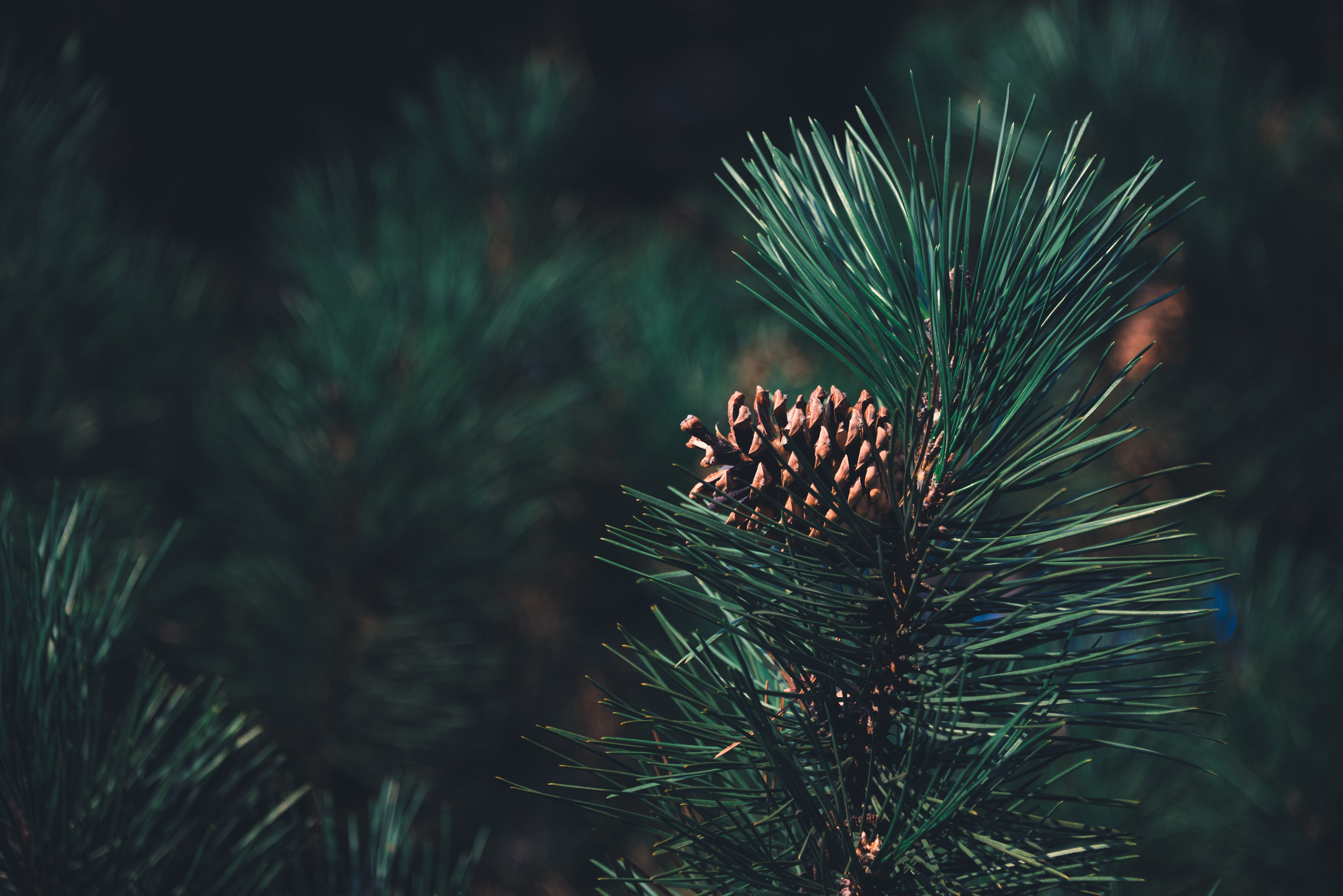 127277 Screensavers and Wallpapers Pine for phone. Download Needle, Pine, Macro, Blur, Smooth, Branch, Cone, Bump pictures for free