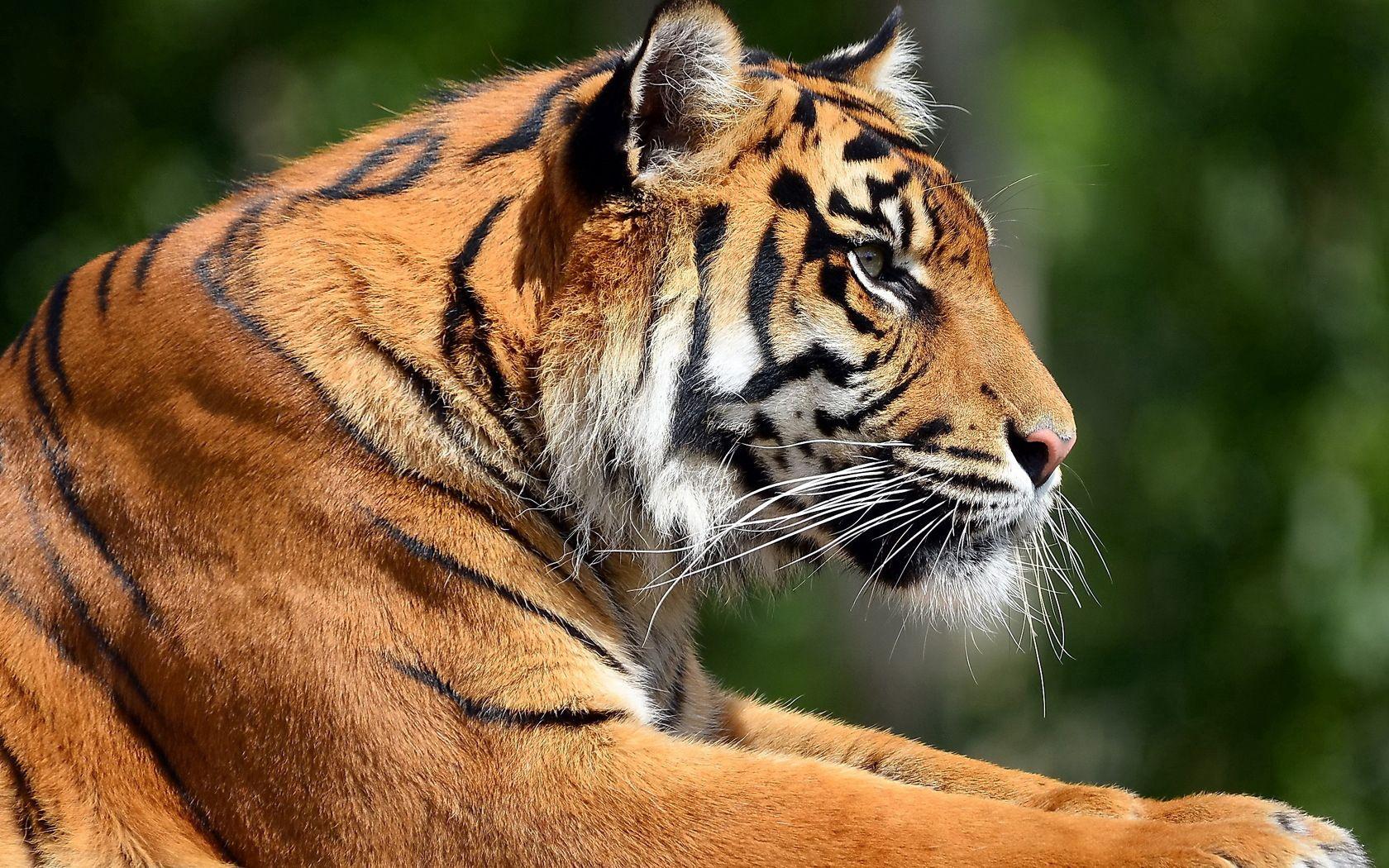 58201 скачать обои Животные, Тигр, Профиль, Морда, Большая Кошка - заставки и картинки бесплатно