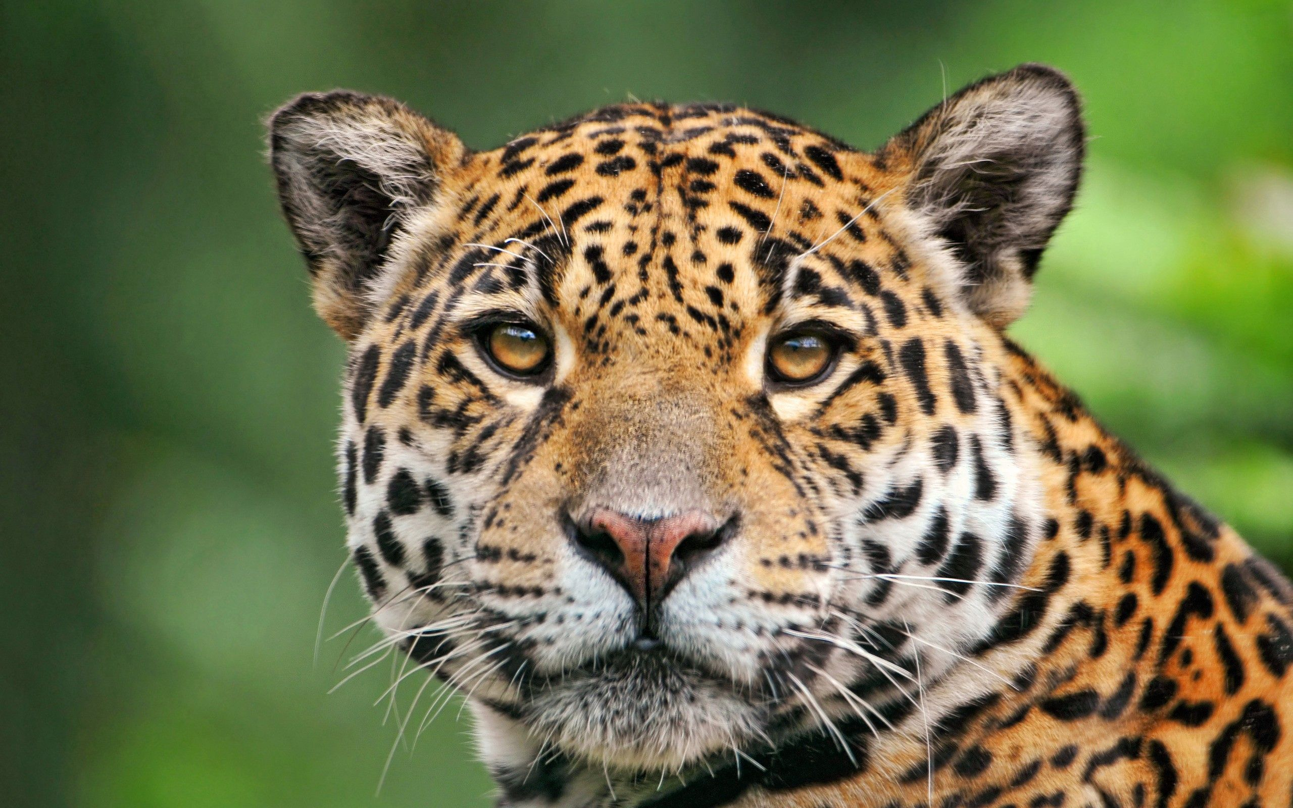 90001 Screensavers and Wallpapers Color for phone. Download Animals, Jaguar, Muzzle, Color pictures for free