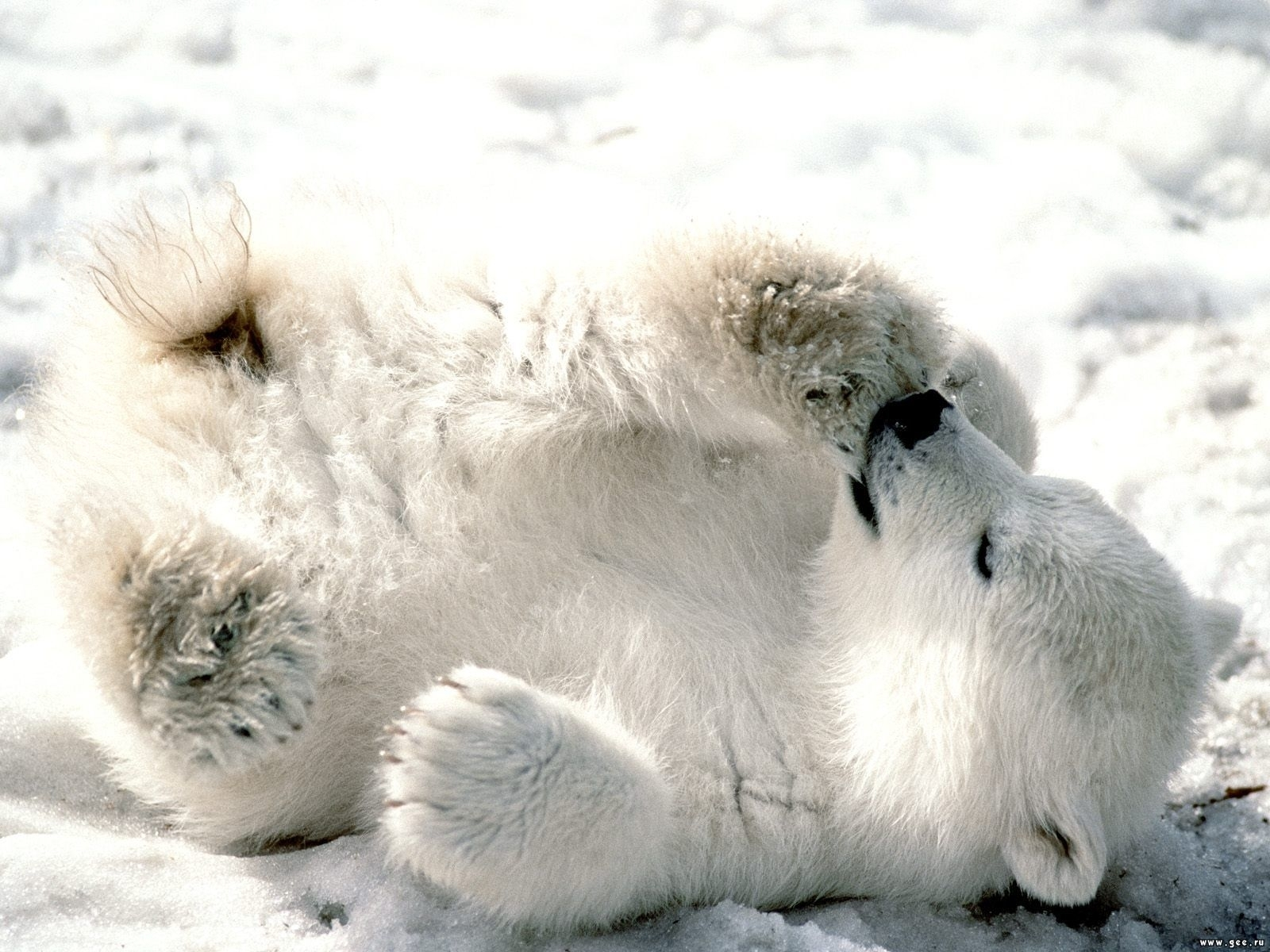5678 download wallpaper Animals, Snow, Bears screensavers and pictures for free