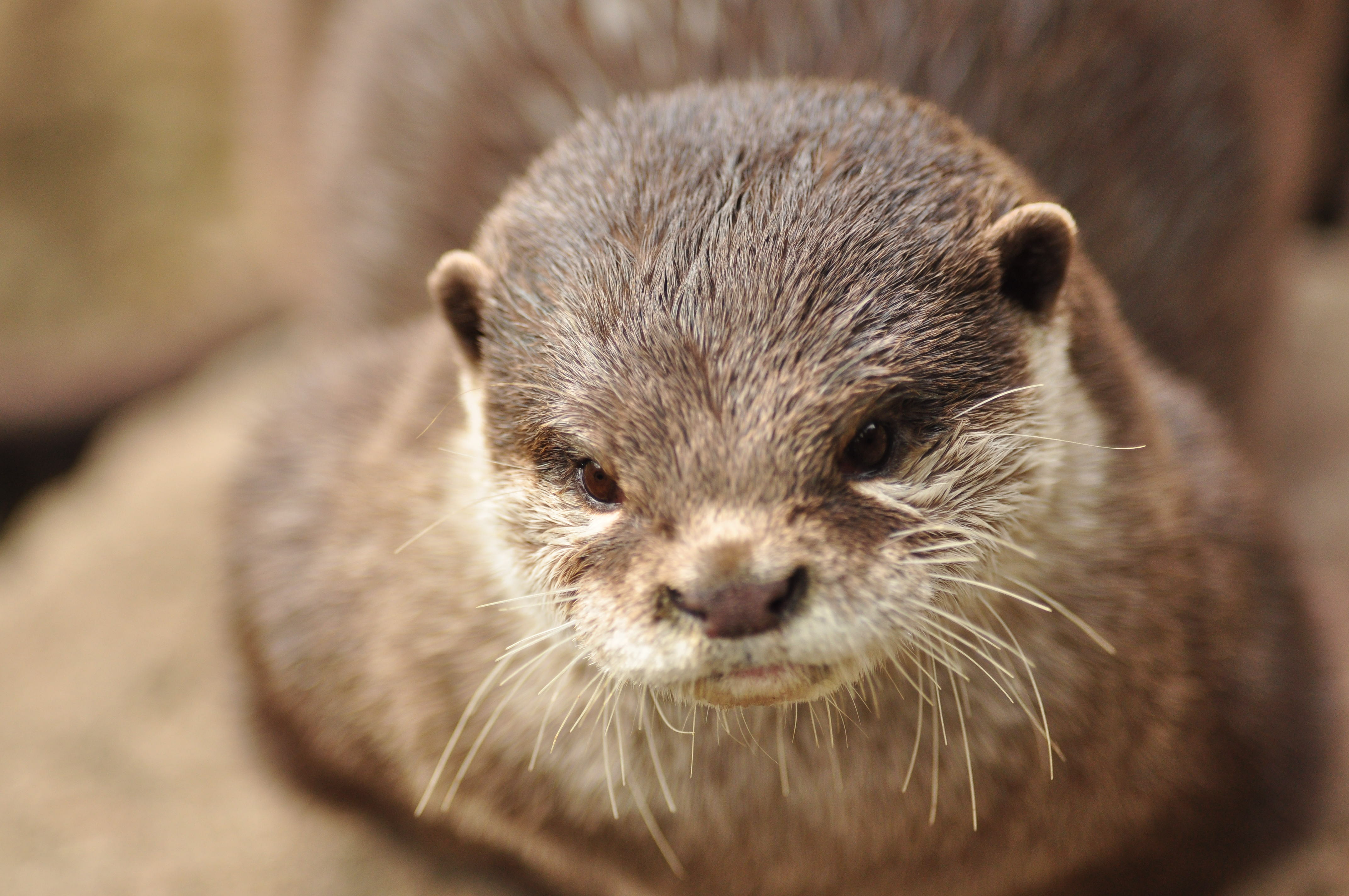 73621 download wallpaper Animals, Otter, Muzzle, Animal, Brown screensavers and pictures for free