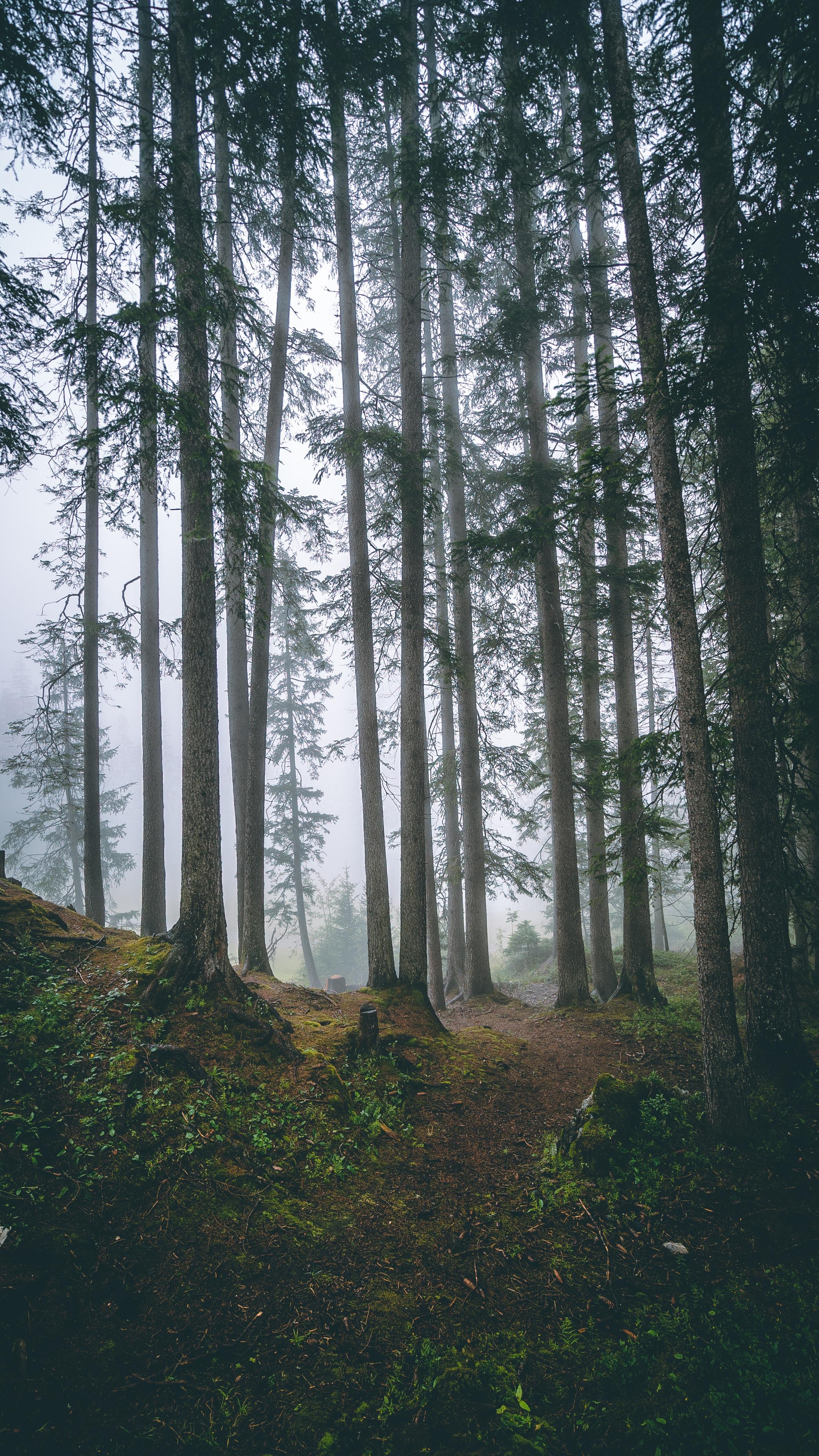 75713 скачать обои Природа, Лес, Деревья, Туман, Стволы, Хвойный, Сосны - заставки и картинки бесплатно