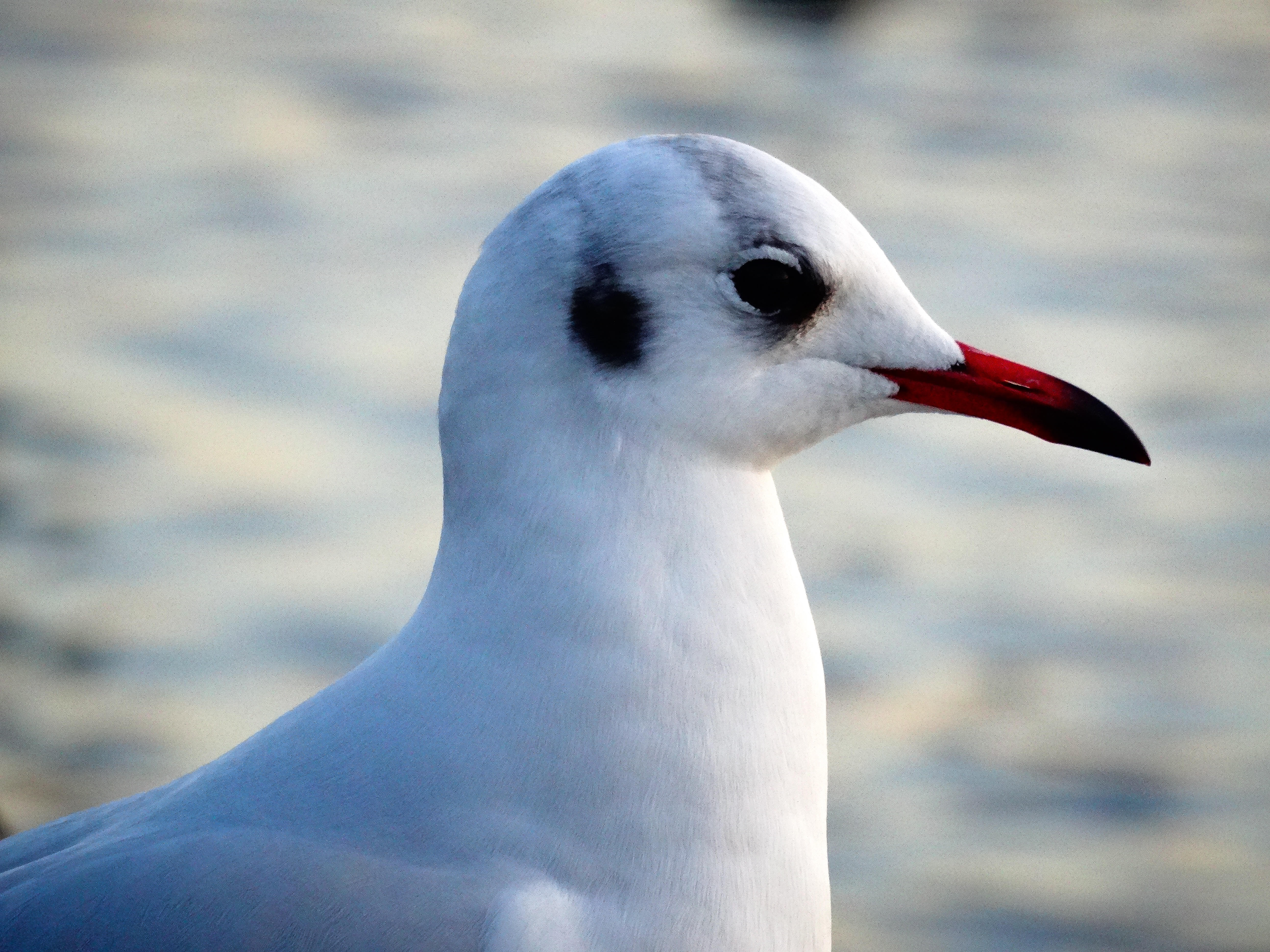 137477 download wallpaper Animals, Gull, Seagull, Bird, Beak screensavers and pictures for free