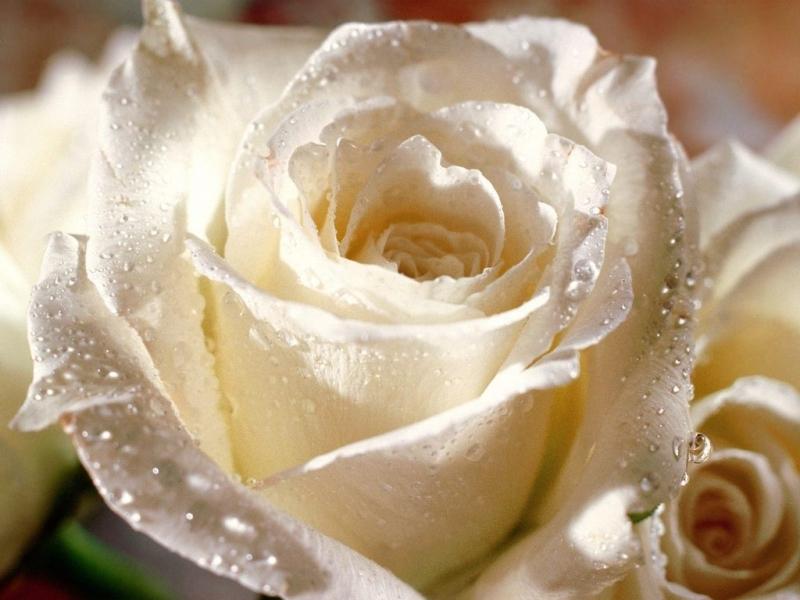 45951 скачать обои Растения, Цветы, Розы - заставки и картинки бесплатно