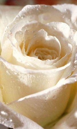 45951 descargar fondo de pantalla Plantas, Flores, Roses: protectores de pantalla e imágenes gratis