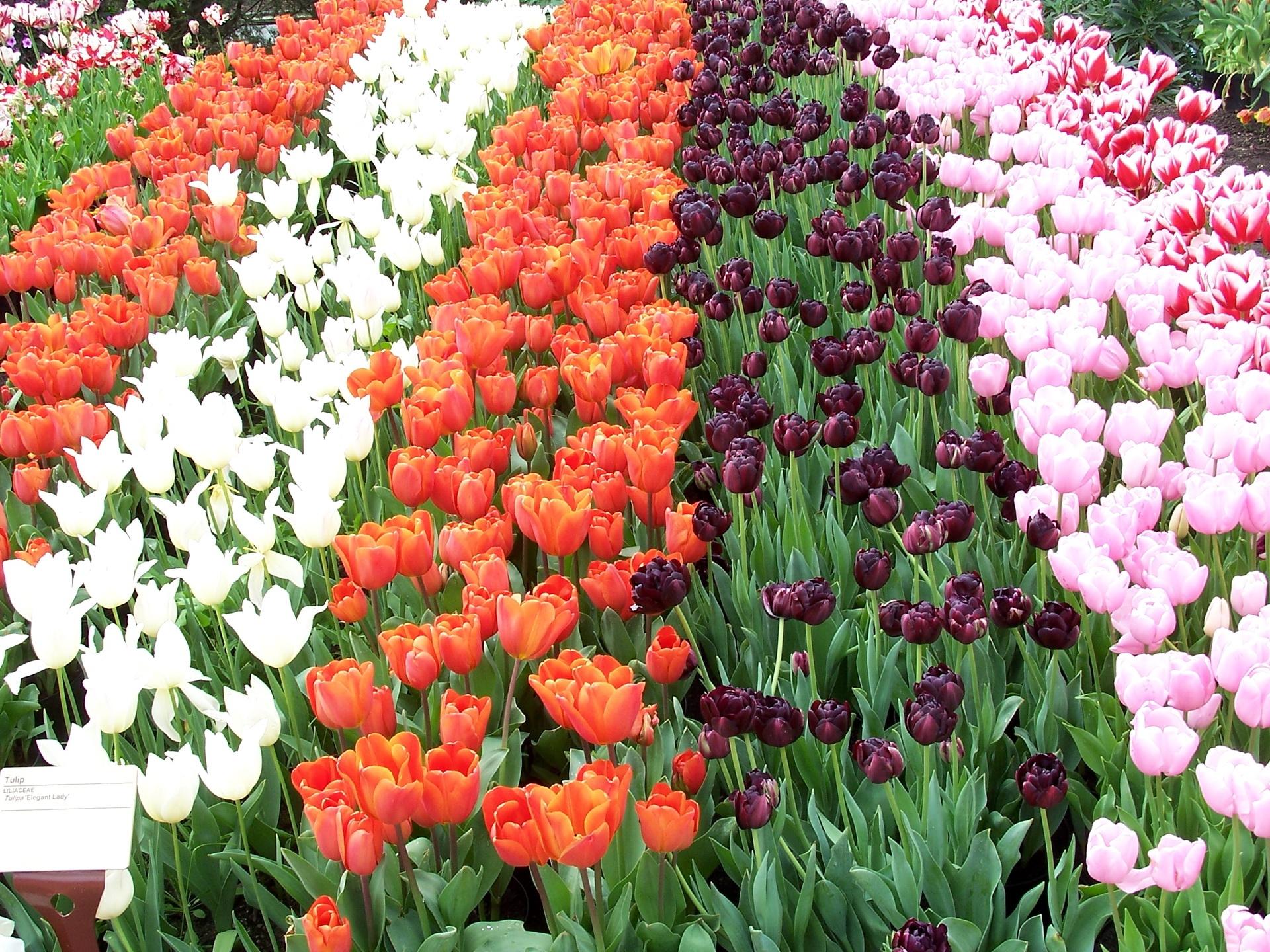 95334 скачать обои Цветы, Ряды, Разные, Тюльпаны - заставки и картинки бесплатно