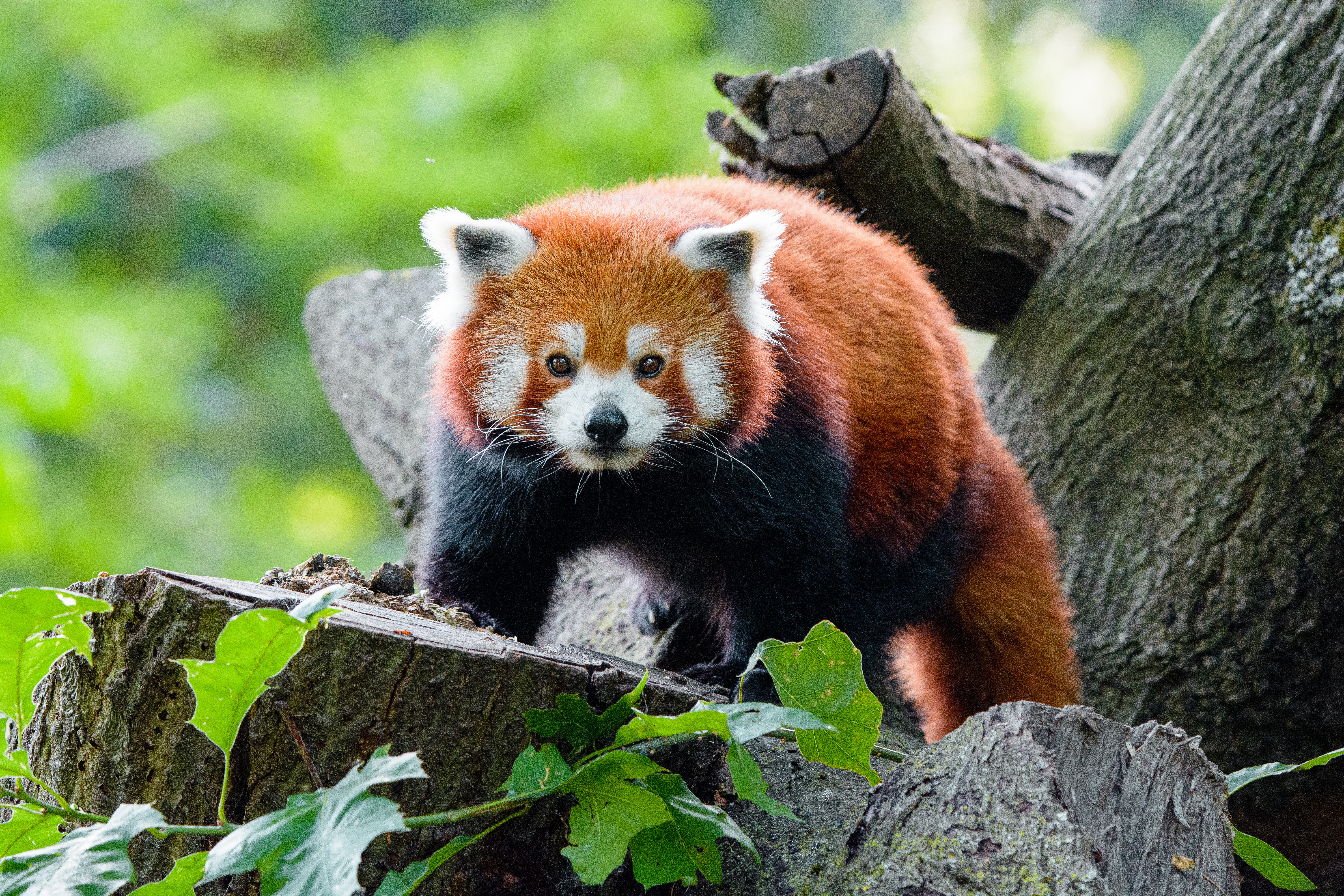 69344 download wallpaper Animals, Red Panda, Panda, Sight, Opinion, Muzzle screensavers and pictures for free