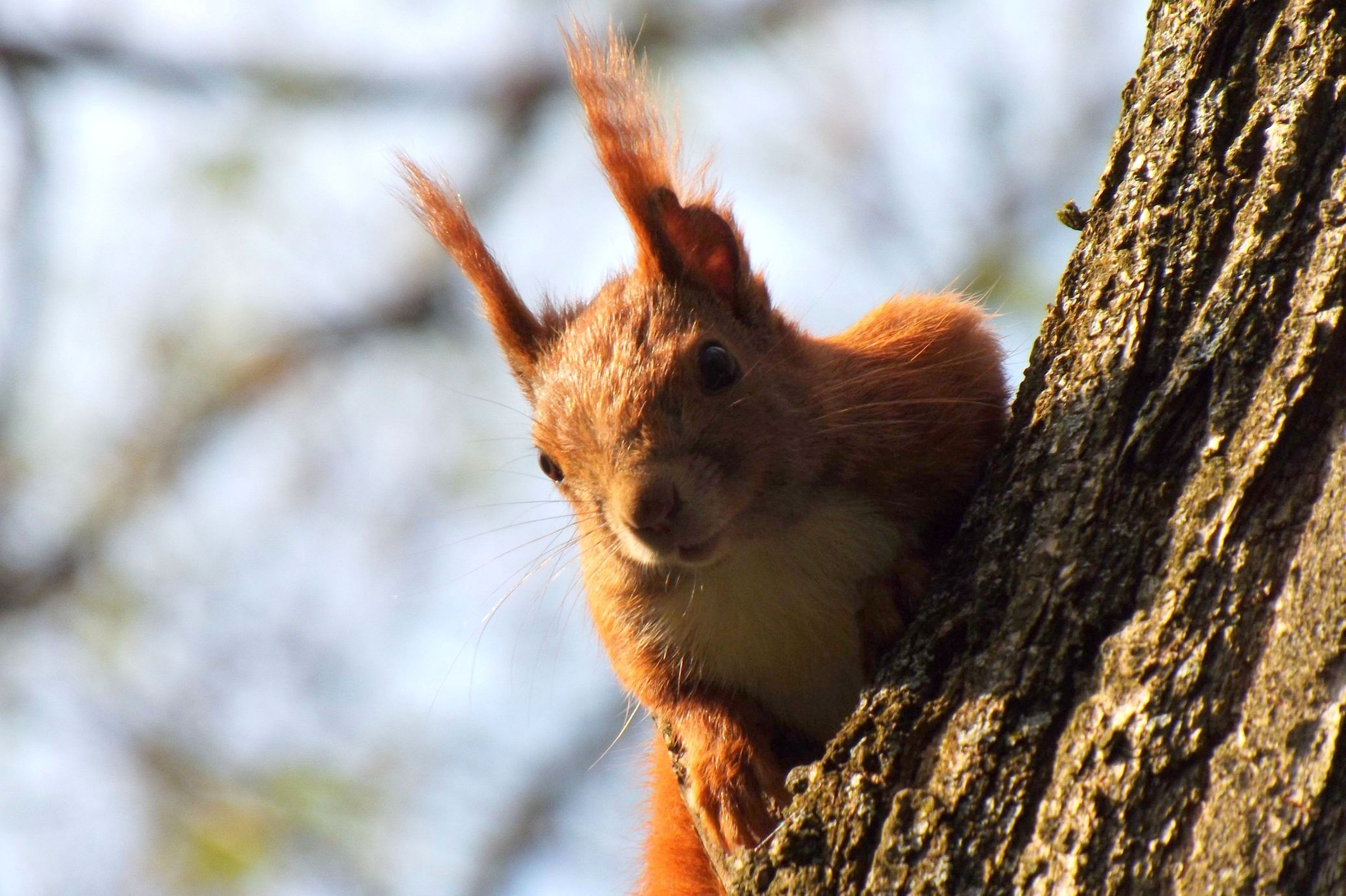110008 Screensavers and Wallpapers Squirrel for phone. Download Animals, Squirrel, Wood, Tree, Climb pictures for free