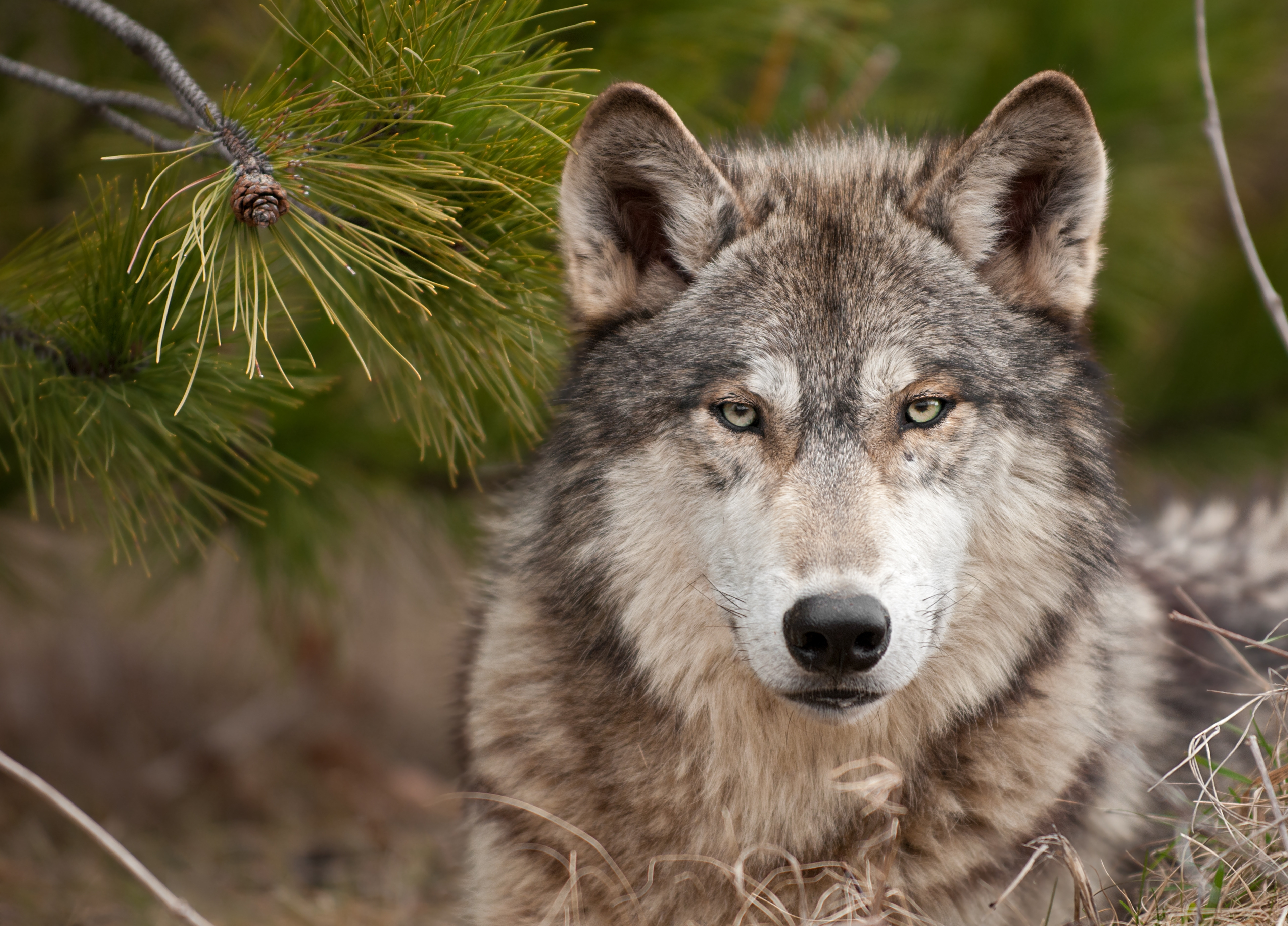 Popular Wolf images for mobile phone