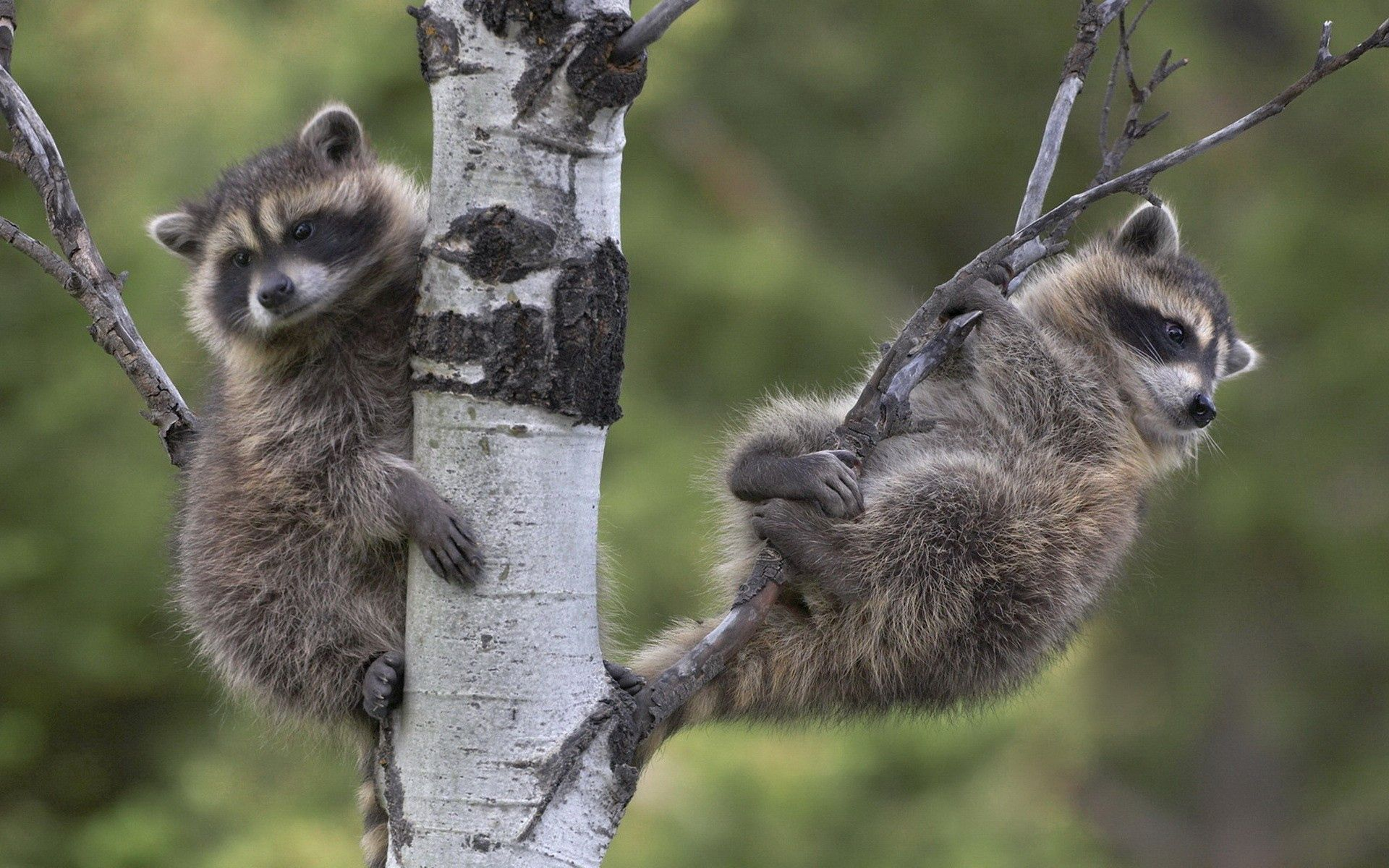 64319 download wallpaper Animals, Raccoons, Wood, Sit, Couple, Pair, Tree, Branches screensavers and pictures for free