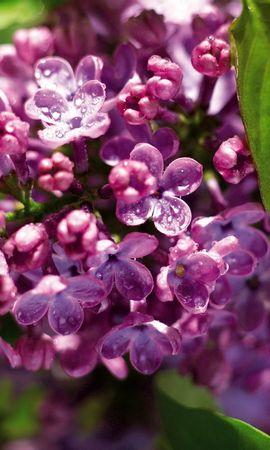 23593 скачать обои Растения, Цветы, Сирень - заставки и картинки бесплатно