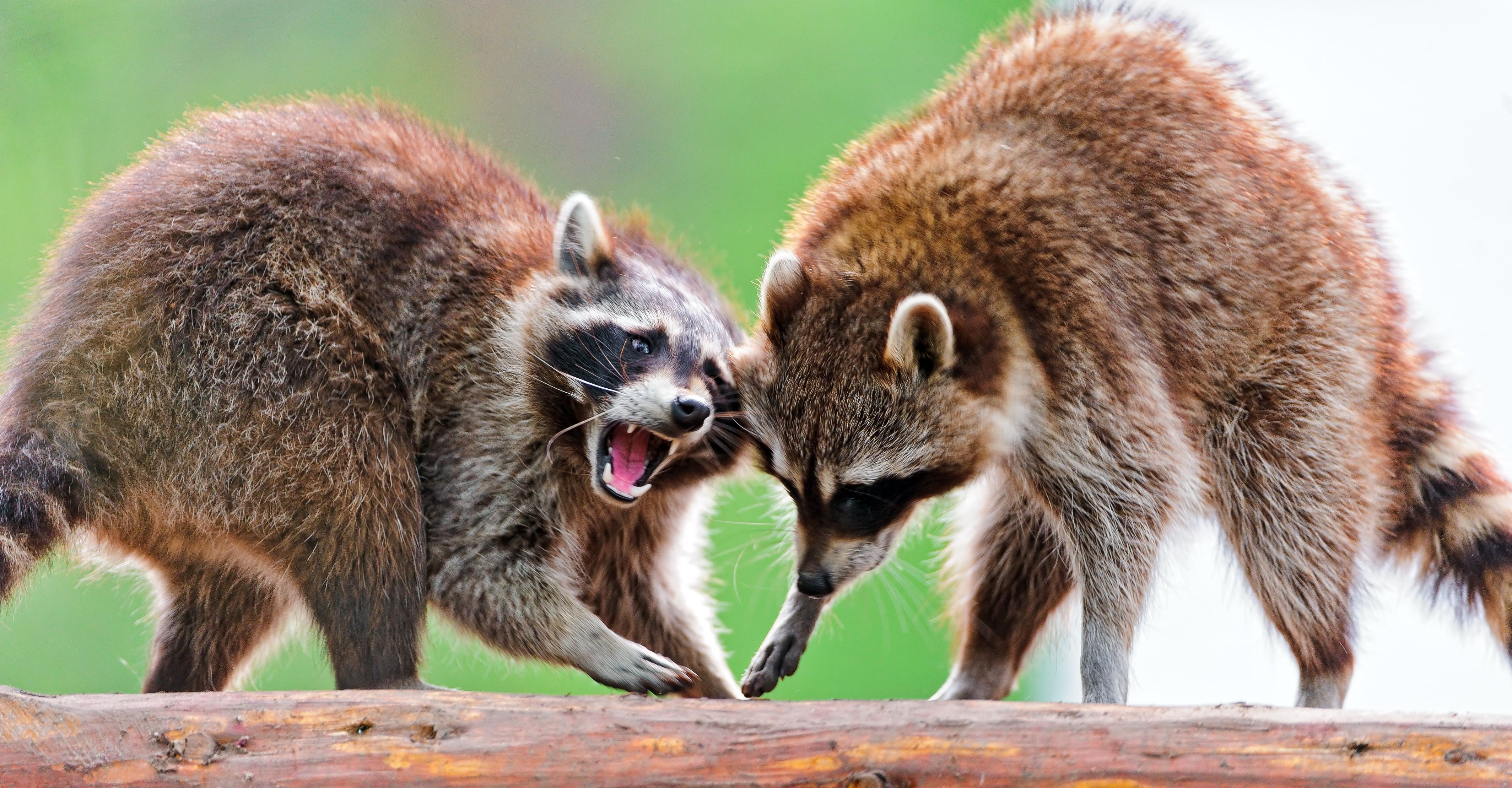 51274 download wallpaper Animals, Raccoons, Couple, Pair, Fight, Open Mouth screensavers and pictures for free