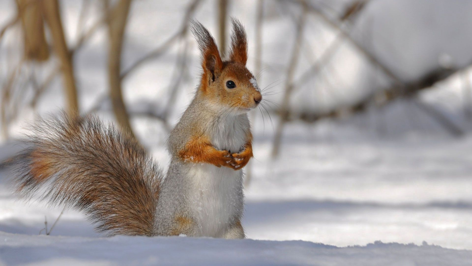 Download mobile wallpaper Animals, Winter, Squirrel, Snow, Branches, Tail for free.