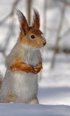 58571 download wallpaper Animals, Branches, Snow, Tail, Winter, Squirrel screensavers and pictures for free