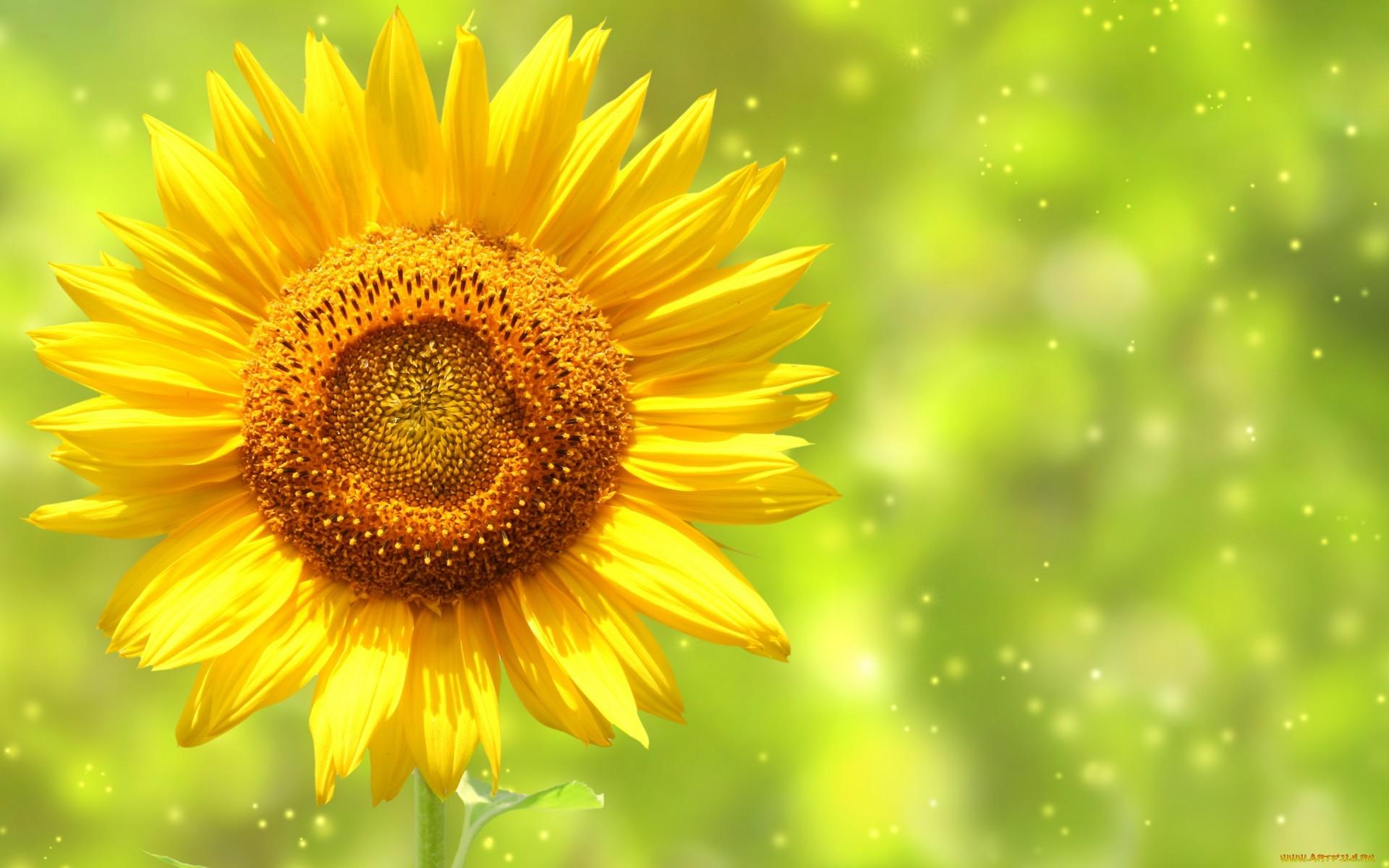 26228 Заставки и Обои Подсолнухи на телефон. Скачать Растения, Цветы, Фон, Подсолнухи картинки бесплатно