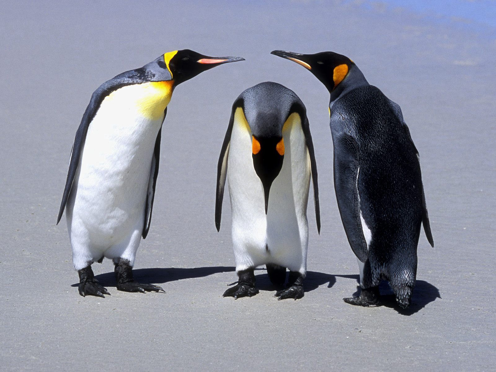 113543 download wallpaper Animals, Pinguins, Shadow, Three, Communication screensavers and pictures for free