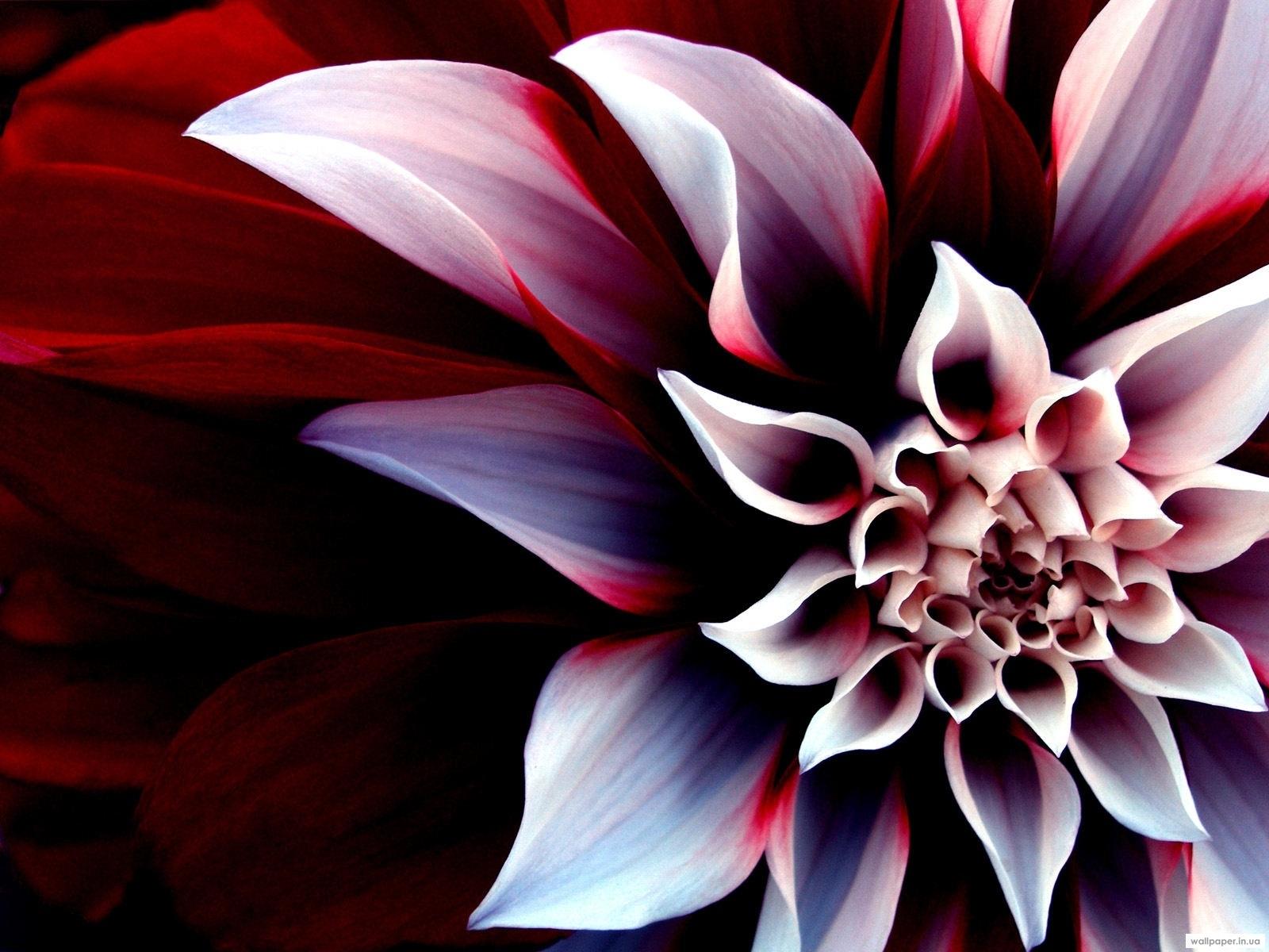 11275 скачать обои Растения, Цветы, Рисунки - заставки и картинки бесплатно