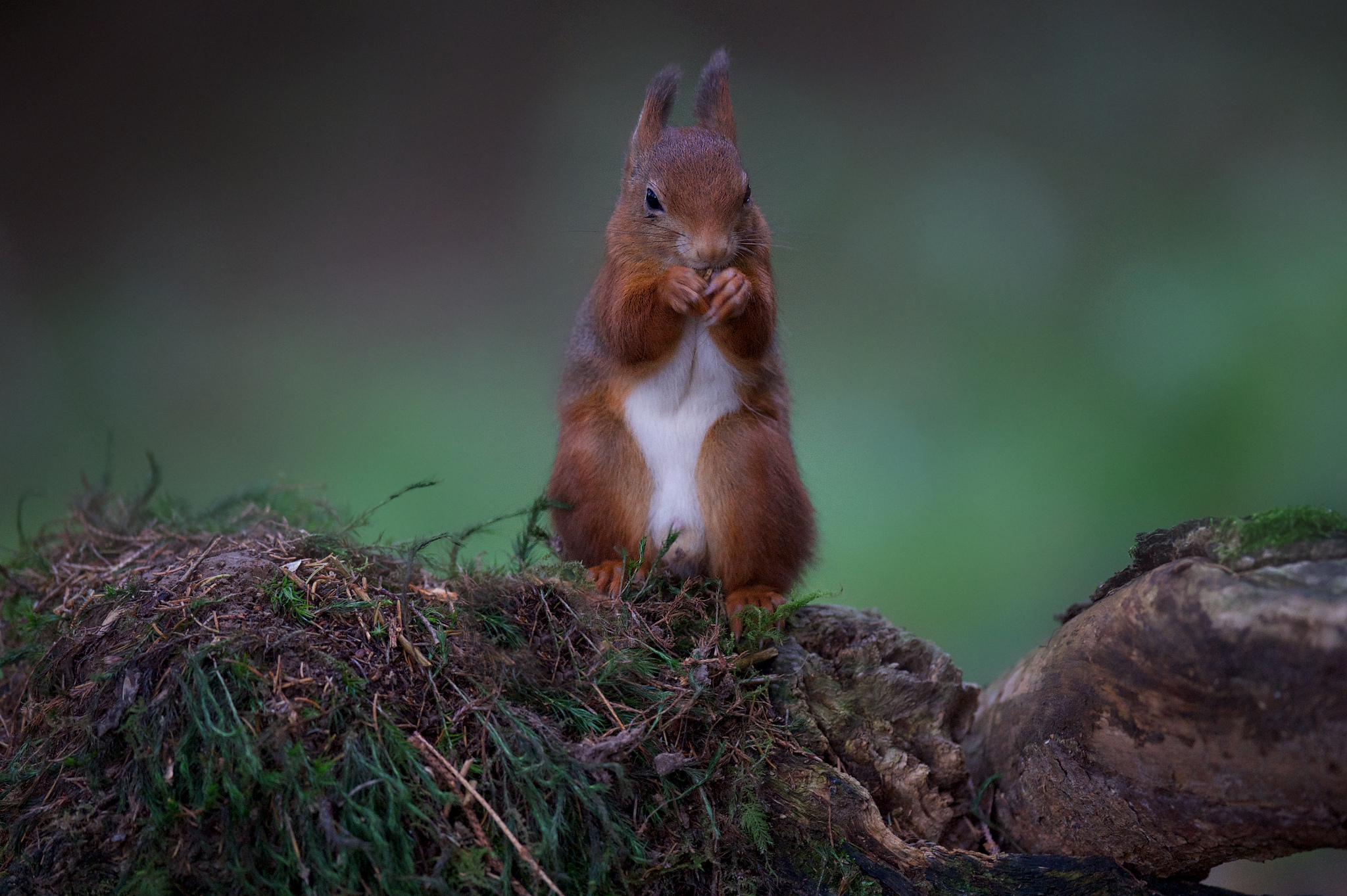 93561 download wallpaper Animals, Squirrel, Food, Stones, Redhead, Moss screensavers and pictures for free