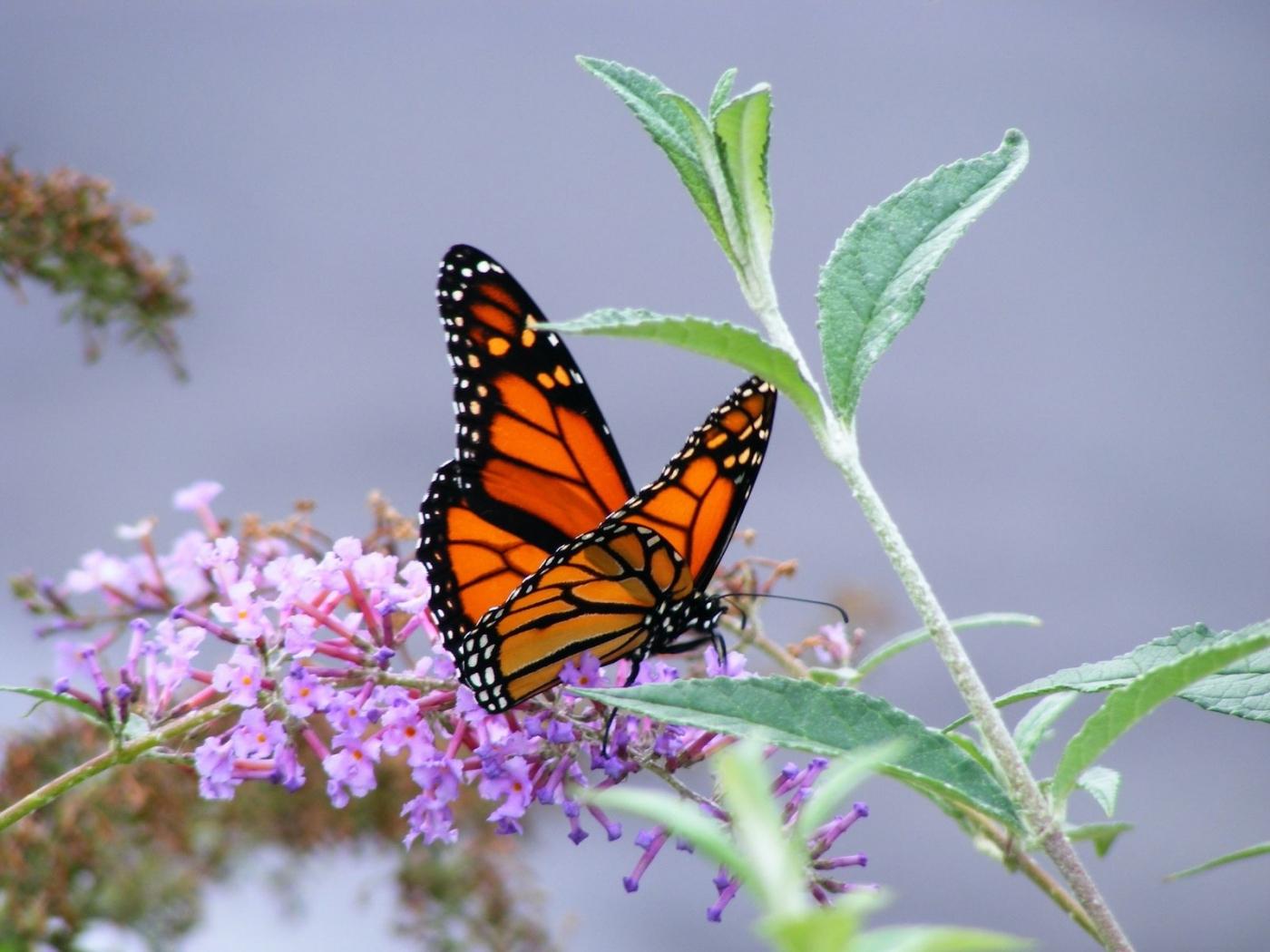 36324 скачать обои Насекомые, Бабочки - заставки и картинки бесплатно