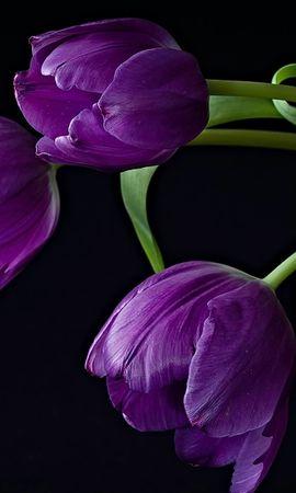 35791 скачать обои Растения, Цветы, Тюльпаны - заставки и картинки бесплатно