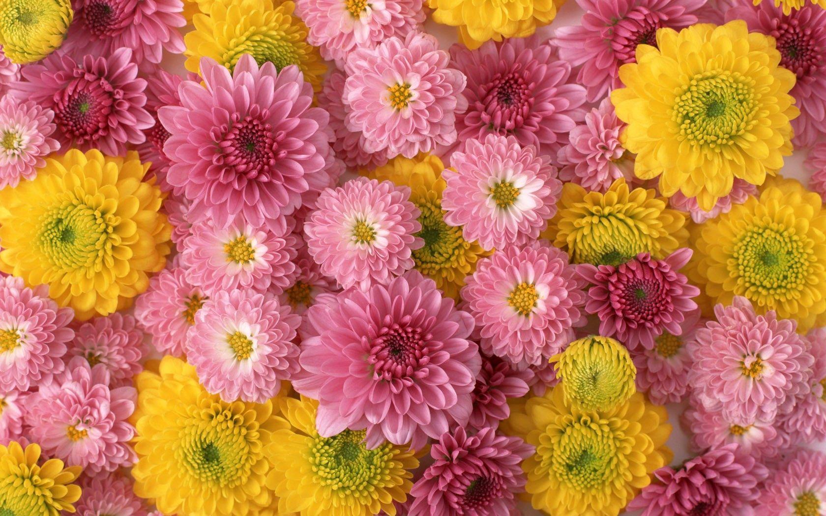 134593 скачать обои Цветы, Бутоны, Розовые, Композиция, Хризантемы - заставки и картинки бесплатно