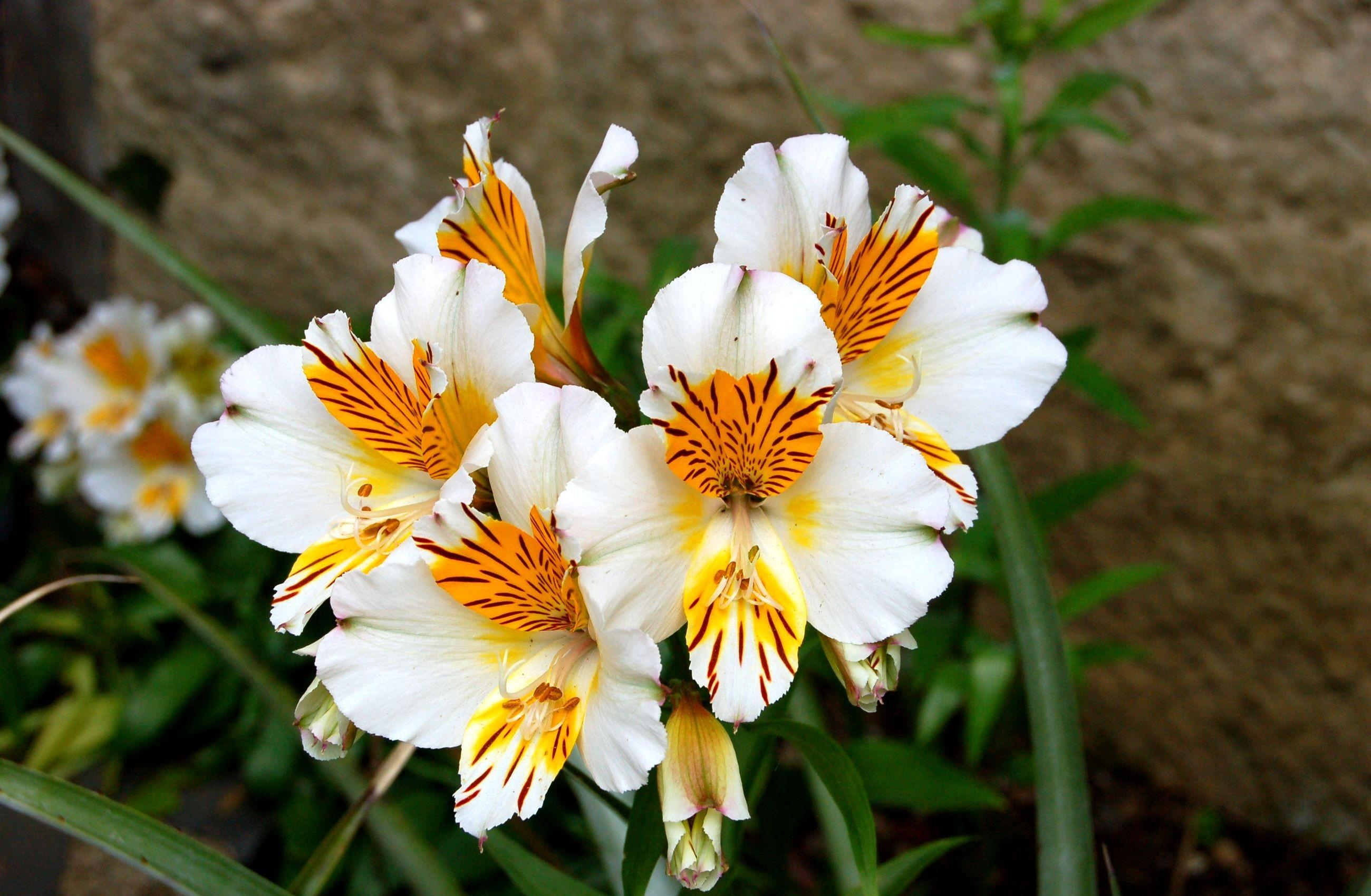 56004 Screensavers and Wallpapers Flower Bed for phone. Download Flowers, Close-Up, Greens, Alstroemeria, Flower Bed, Flowerbed pictures for free