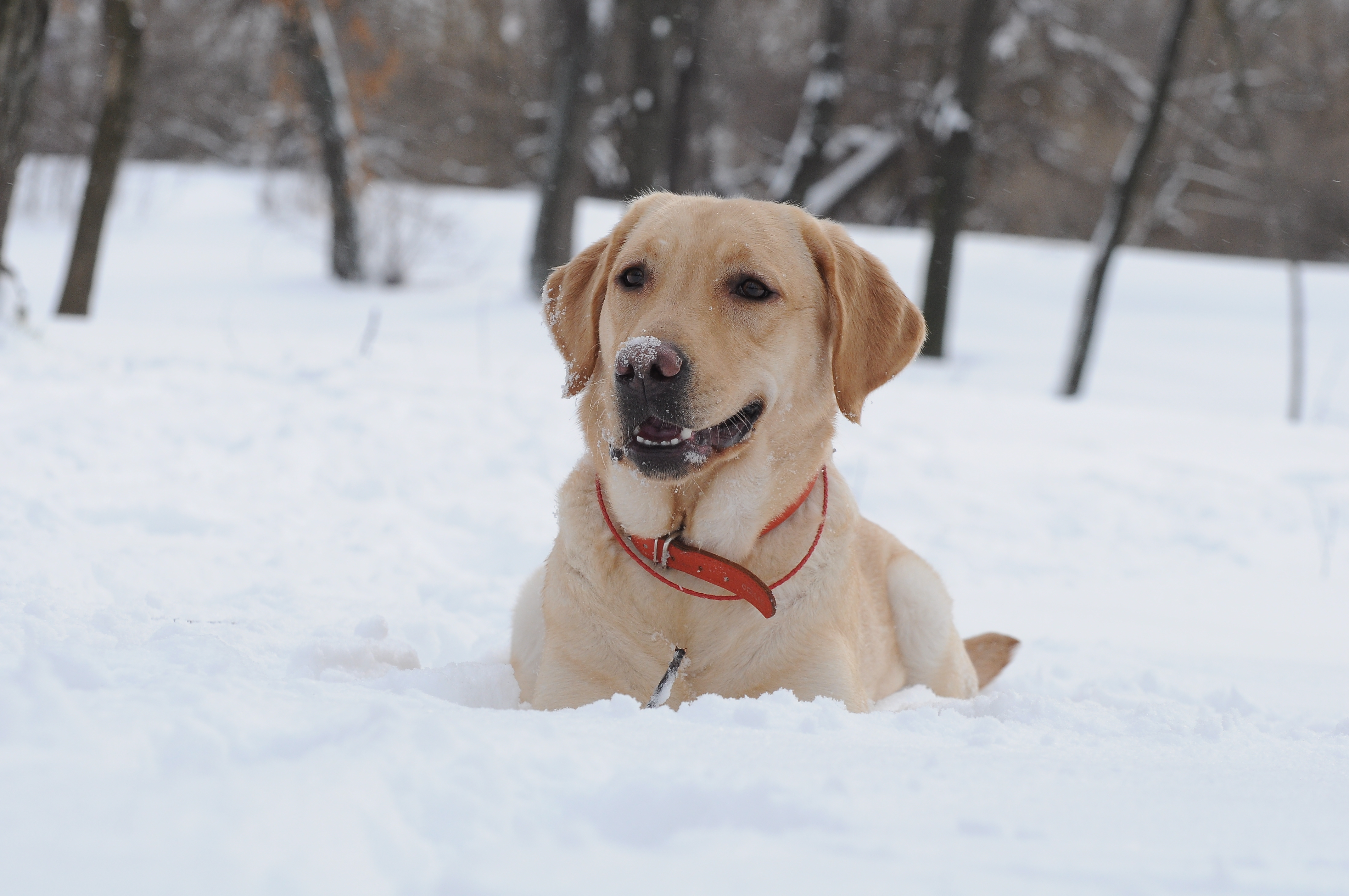 19349 download wallpaper Animals, Winter, Dogs, Snow screensavers and pictures for free