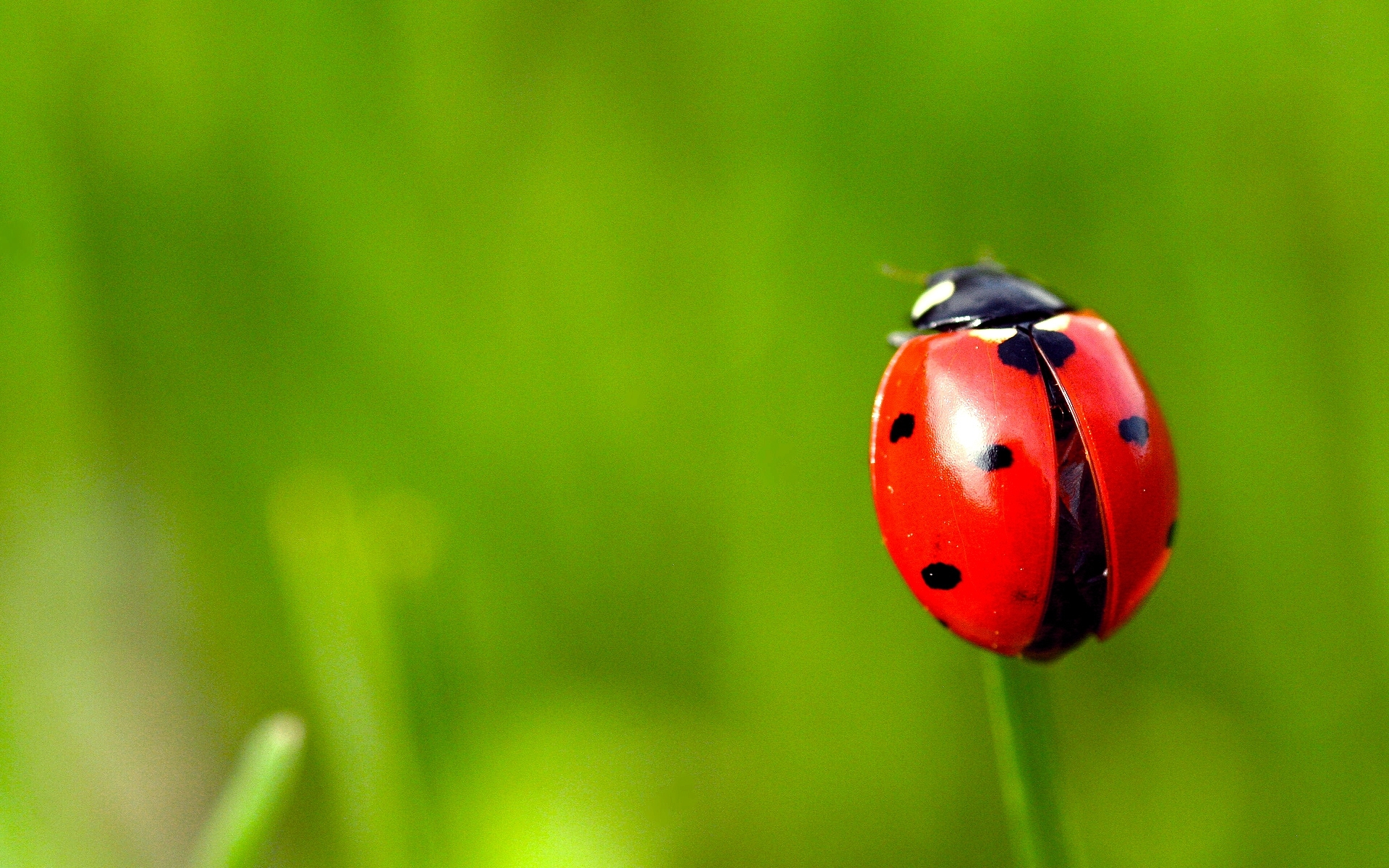 30136 download wallpaper Insects, Ladybugs screensavers and pictures for free
