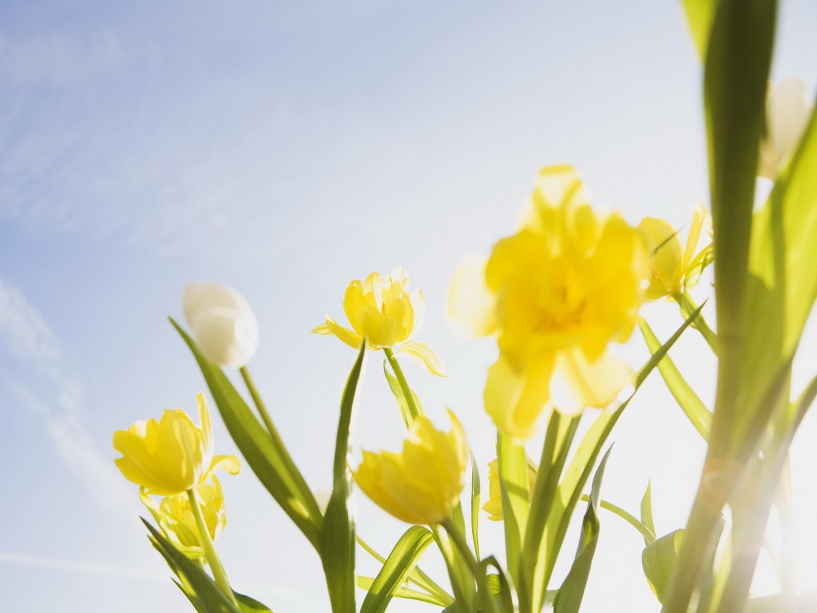 7992 скачать обои Растения, Цветы, Тюльпаны, Чистое Небо (Clear Sky) - заставки и картинки бесплатно