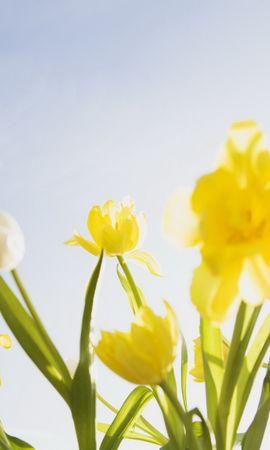 7992 télécharger le fond d'écran Plantes, Fleurs, Tulipes, Clear Sky - économiseurs d'écran et images gratuitement