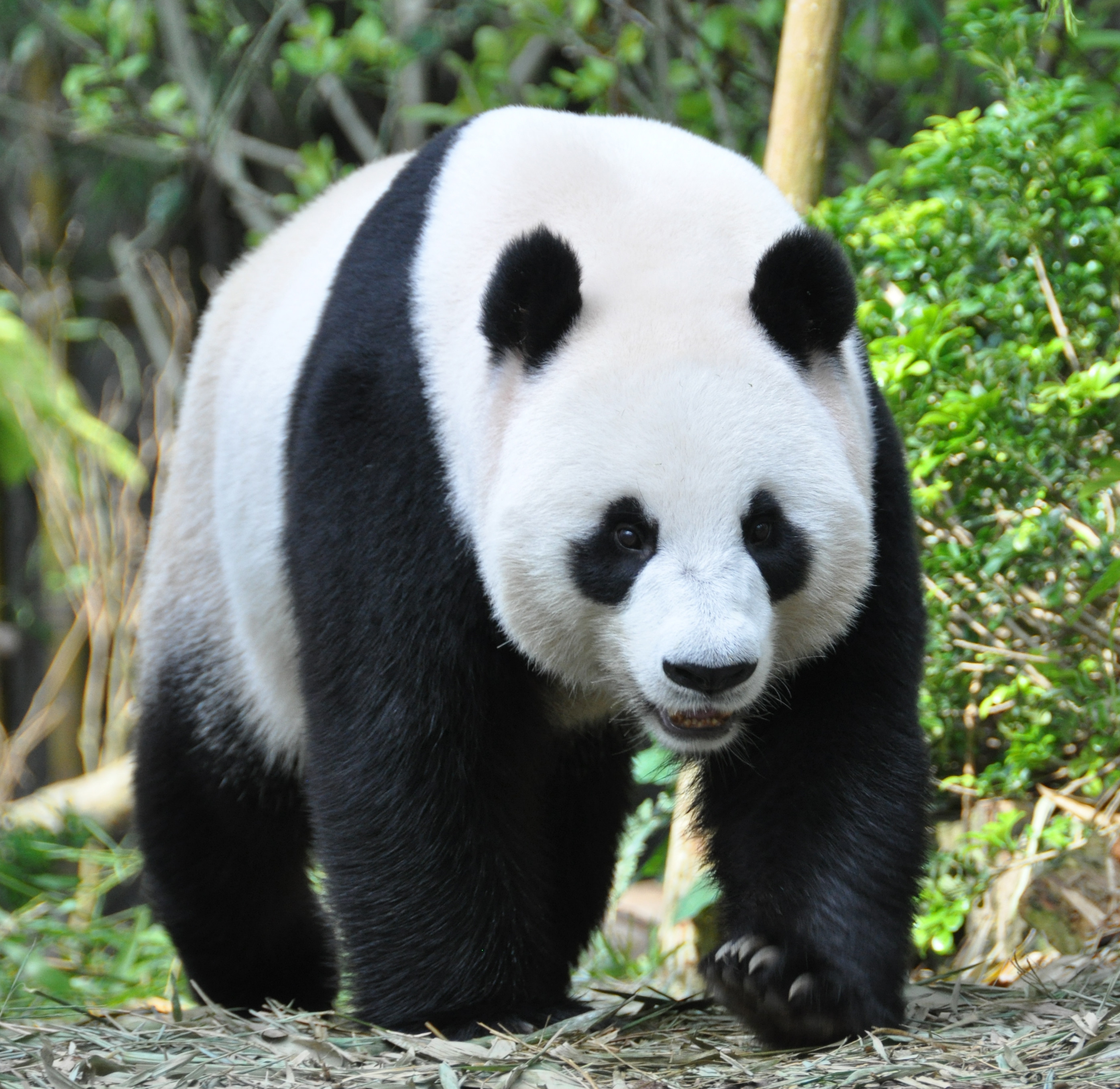 125955 download wallpaper Animals, Panda, Animal, Muzzle, Claws screensavers and pictures for free