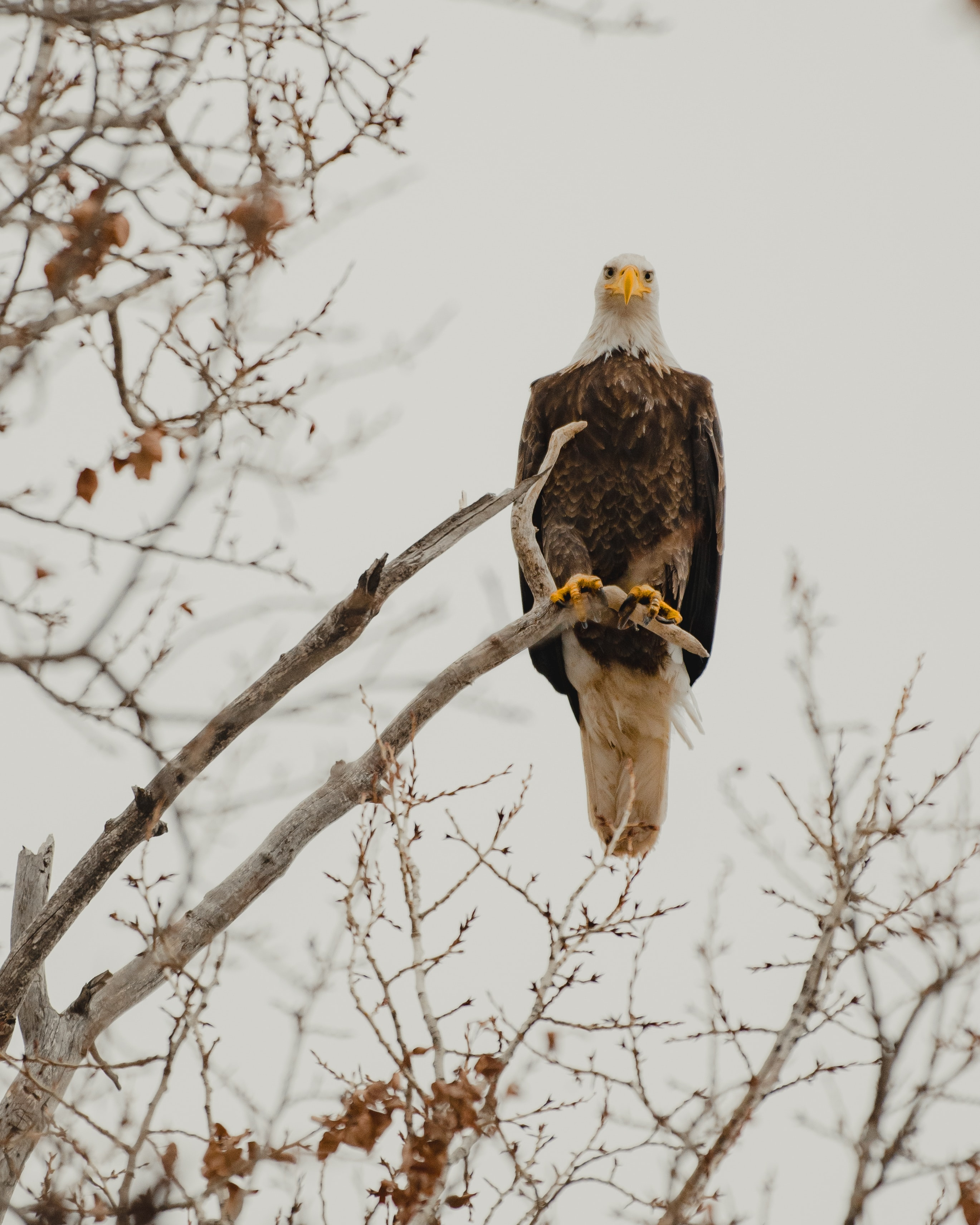 123429 download wallpaper Animals, Bald Eagle, White-Headed Eagle, Eagle, Bird, Predator, Branch, Wildlife screensavers and pictures for free