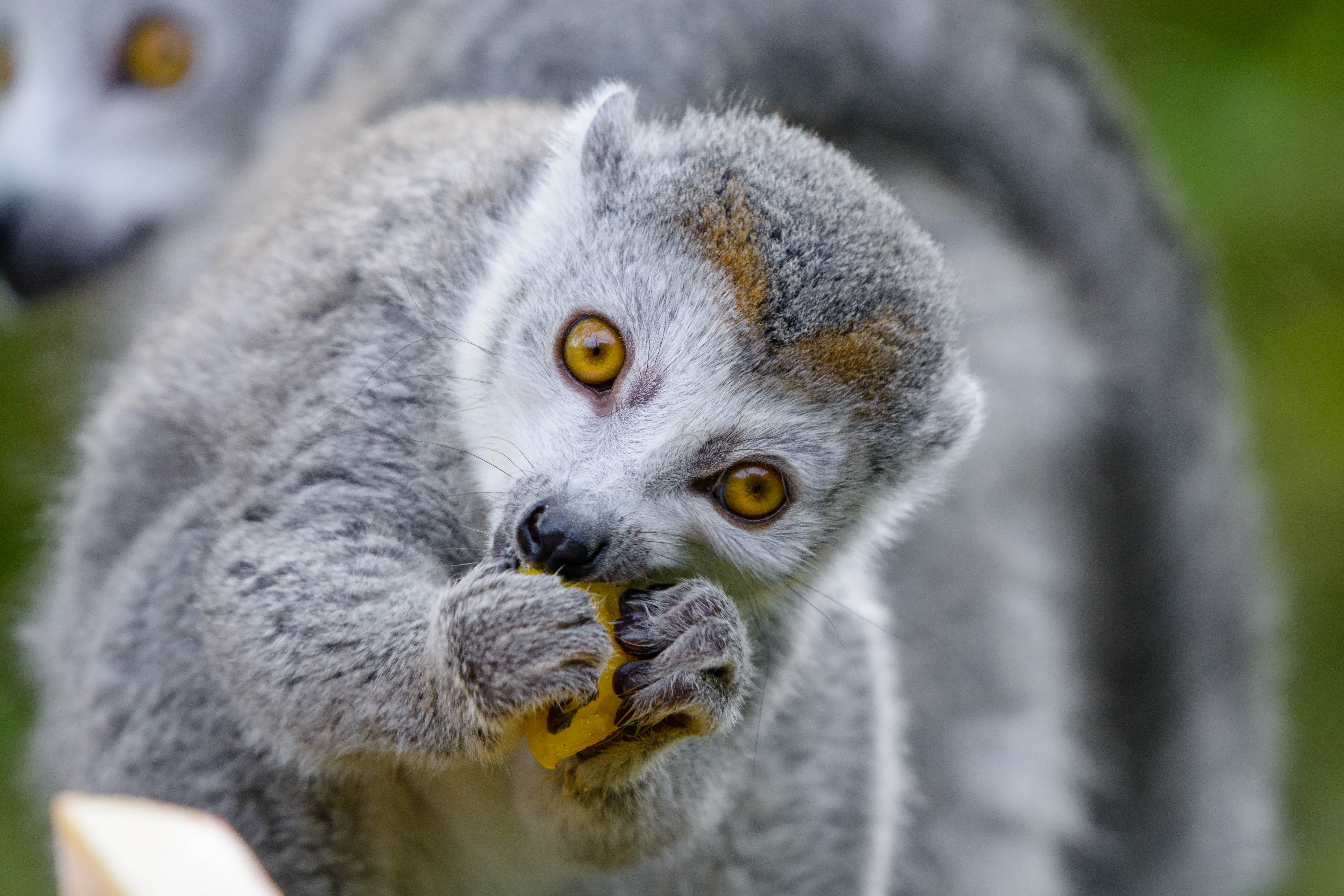 82055 download wallpaper Animals, Lemur, Eat, Nice, Sweetheart, Animal, Food screensavers and pictures for free