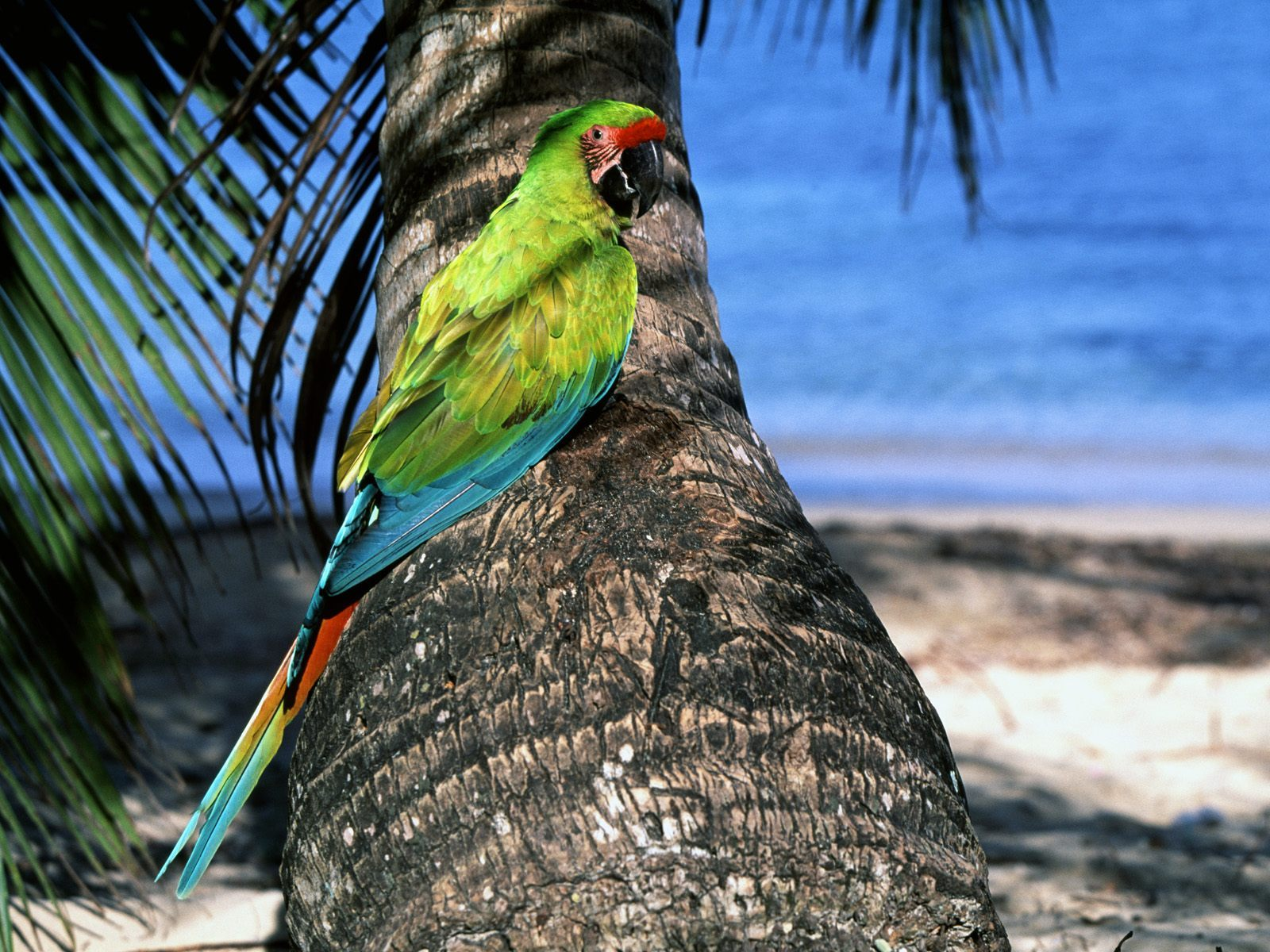 15732 download wallpaper Animals, Birds, Parrots screensavers and pictures for free