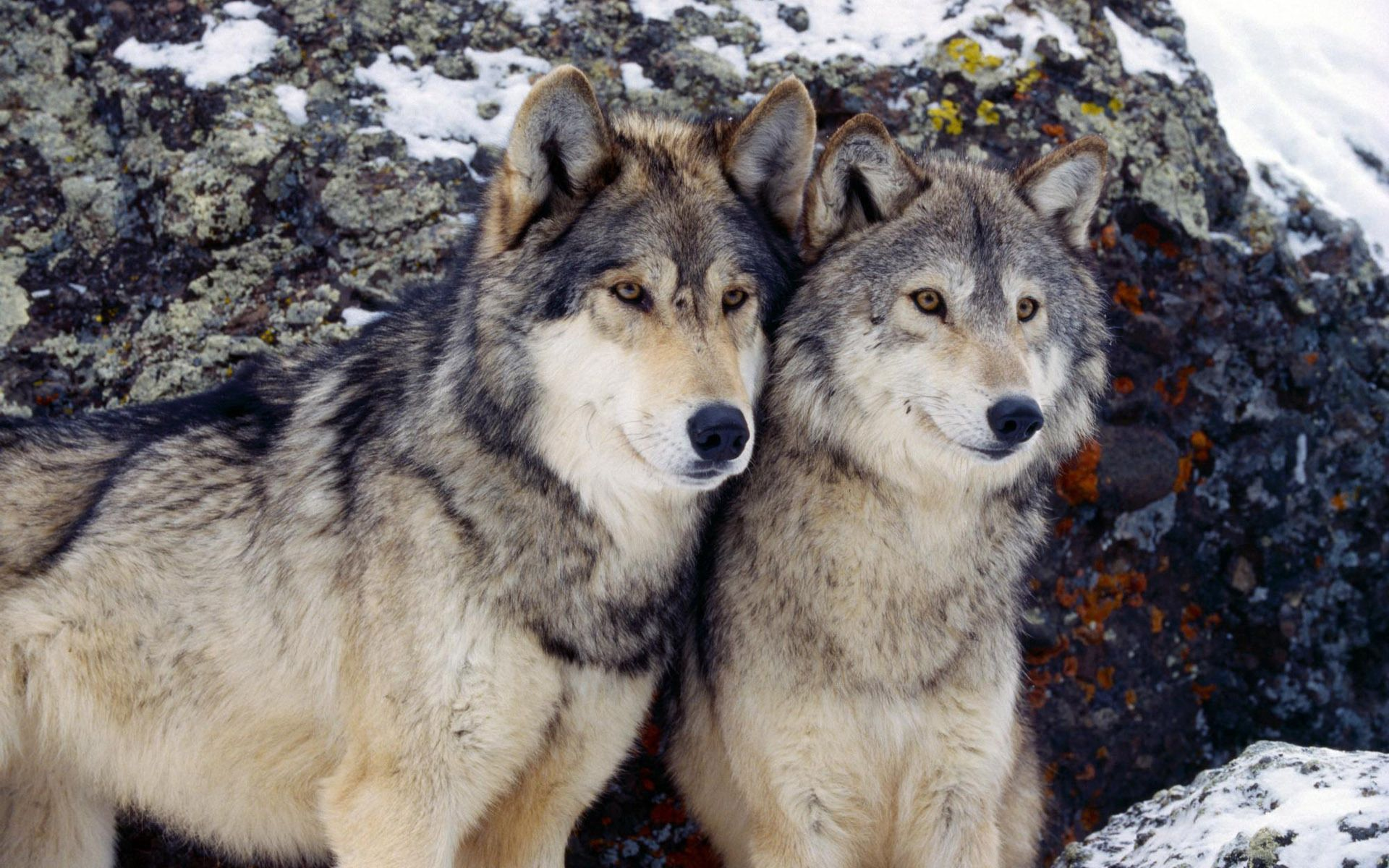 108408 Screensavers and Wallpapers Wolf for phone. Download Wolf, Animals, Stones, Snow, Couple, Pair pictures for free