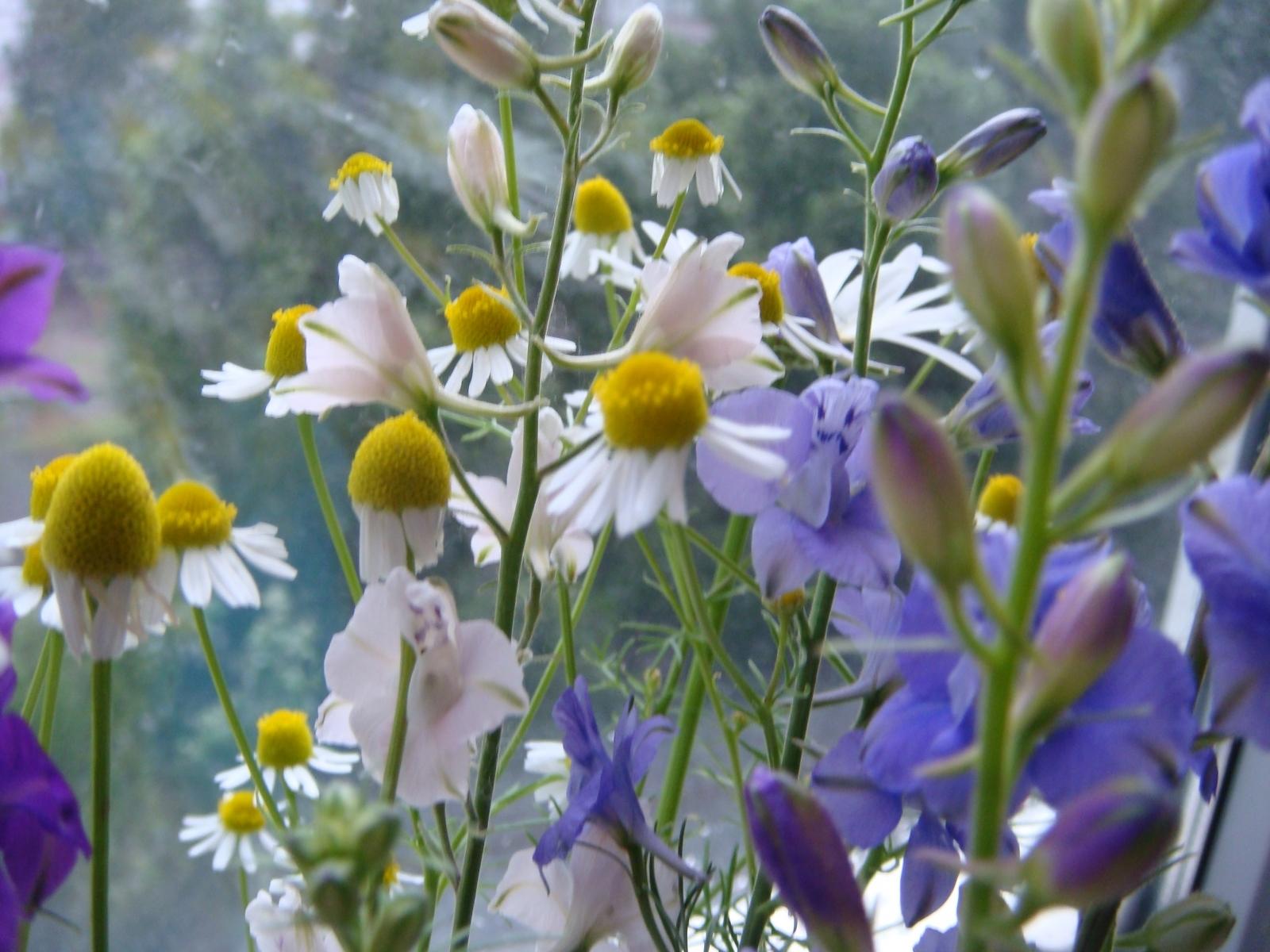 1659 скачать обои Растения, Цветы, Ромашки - заставки и картинки бесплатно