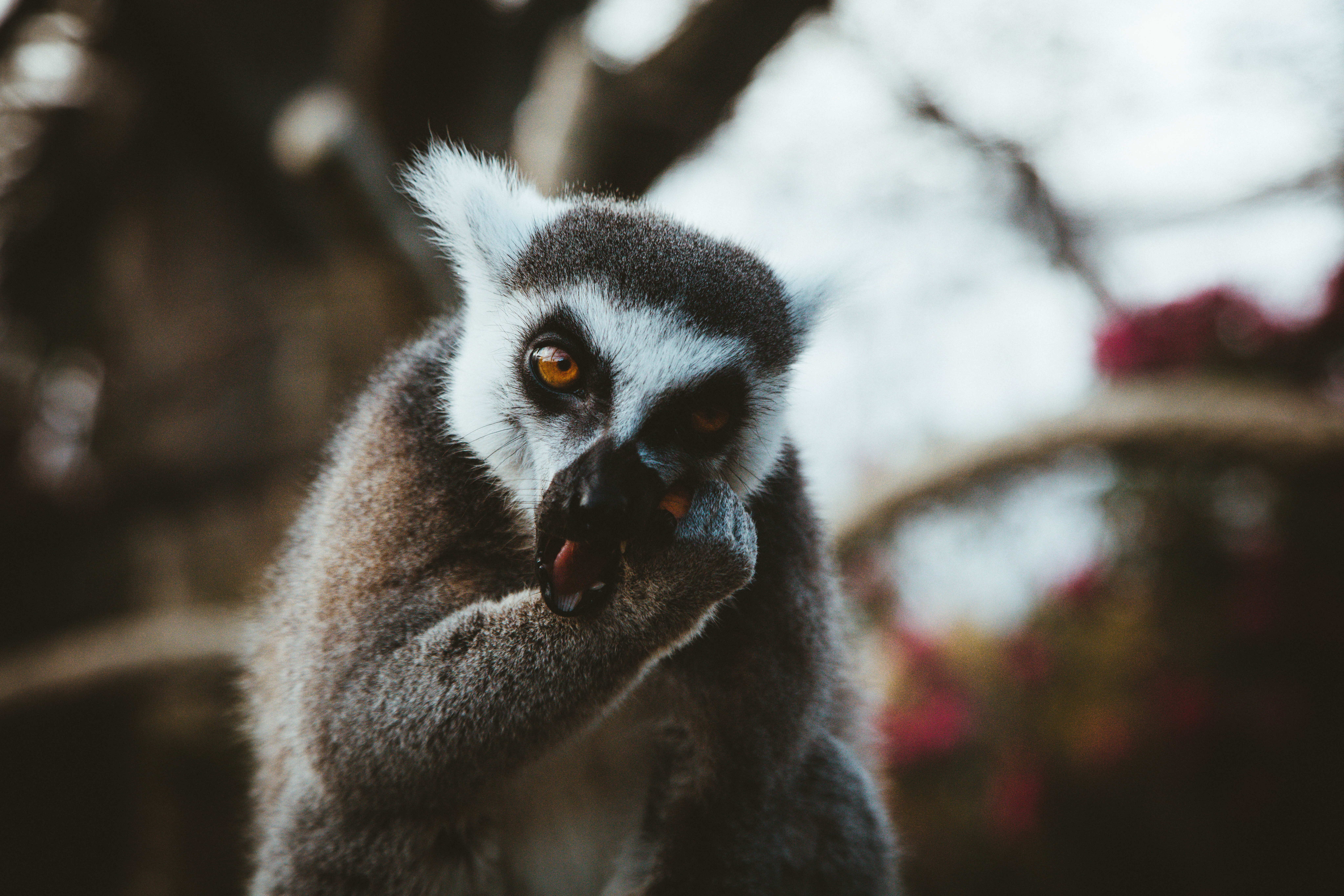 126915 download wallpaper Animals, Lemur, Animal, Muzzle, Eats screensavers and pictures for free